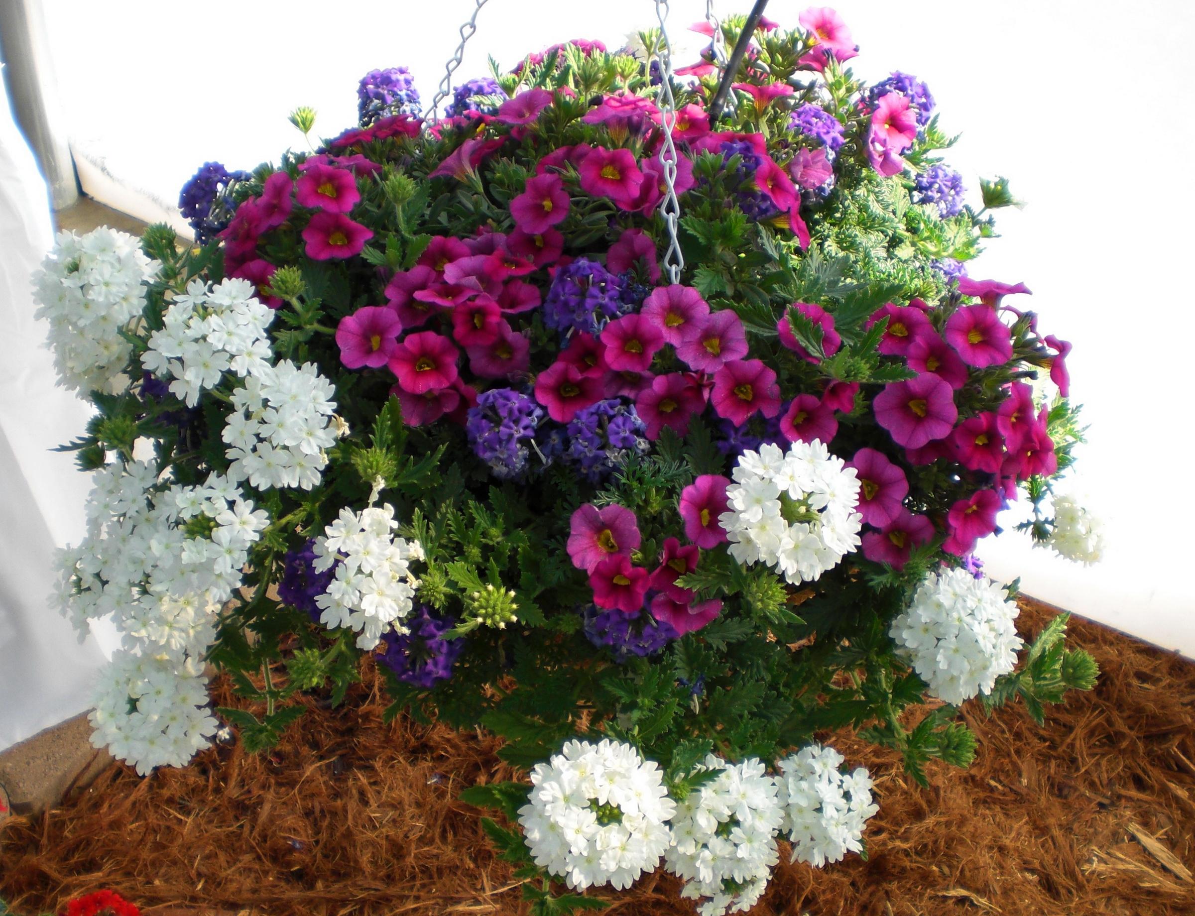 цветок вербена фото: