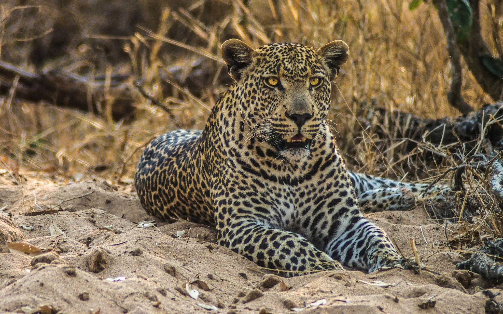 Ягуар хищник взгляд камни  № 3657970 без смс