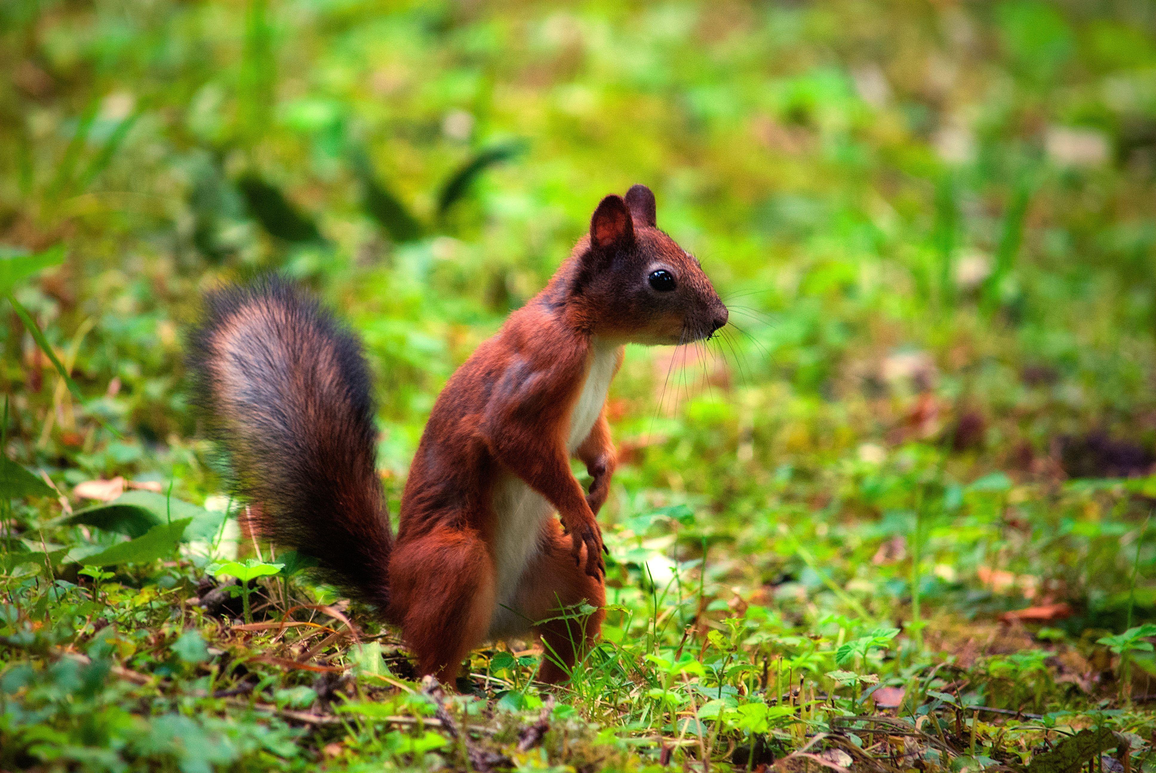 природа животные белка nature animals protein  № 1115640 бесплатно