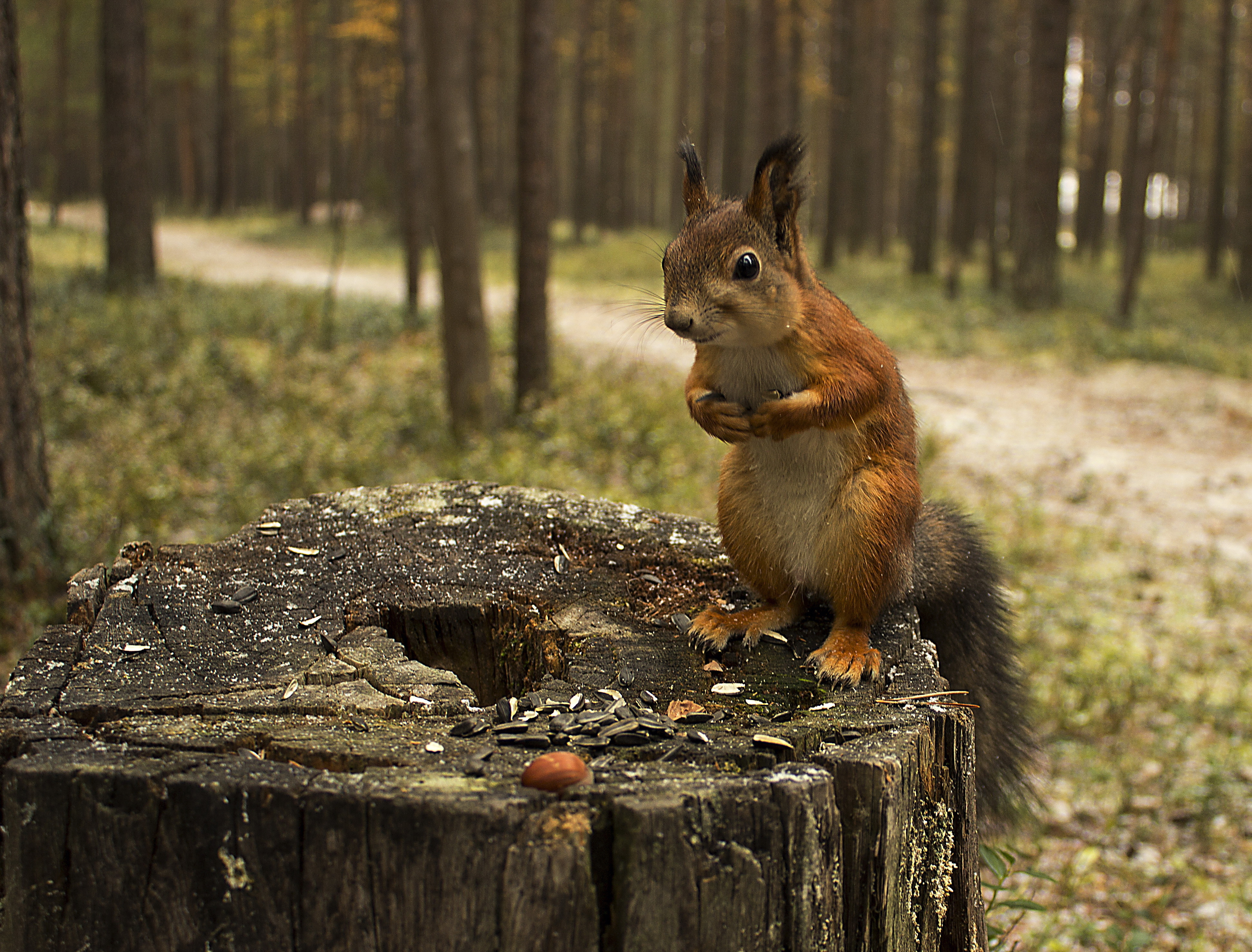 природа осень животное корзина семечки белка  № 2096038 загрузить