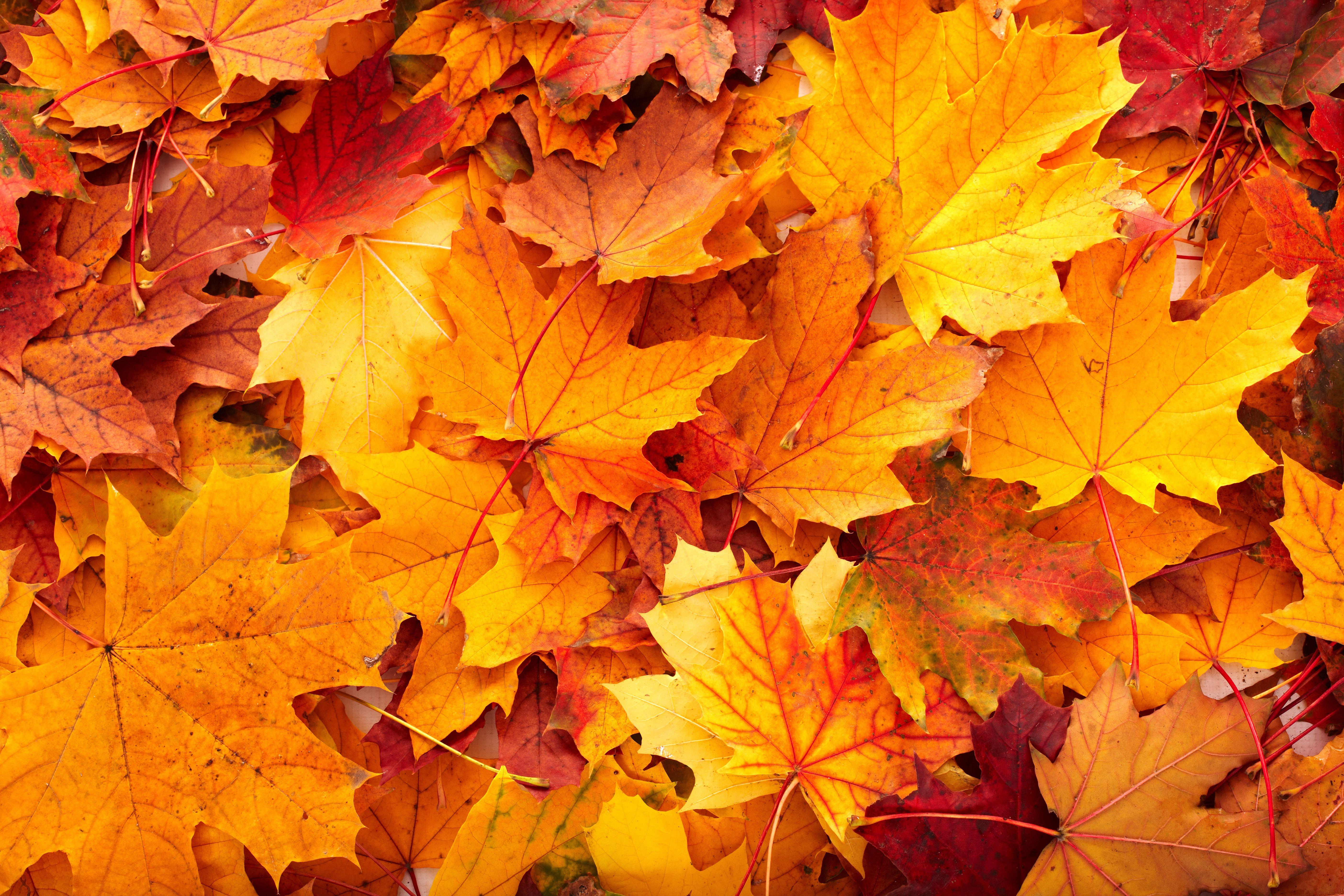 Фото листья деревьев клена крупным планом 2