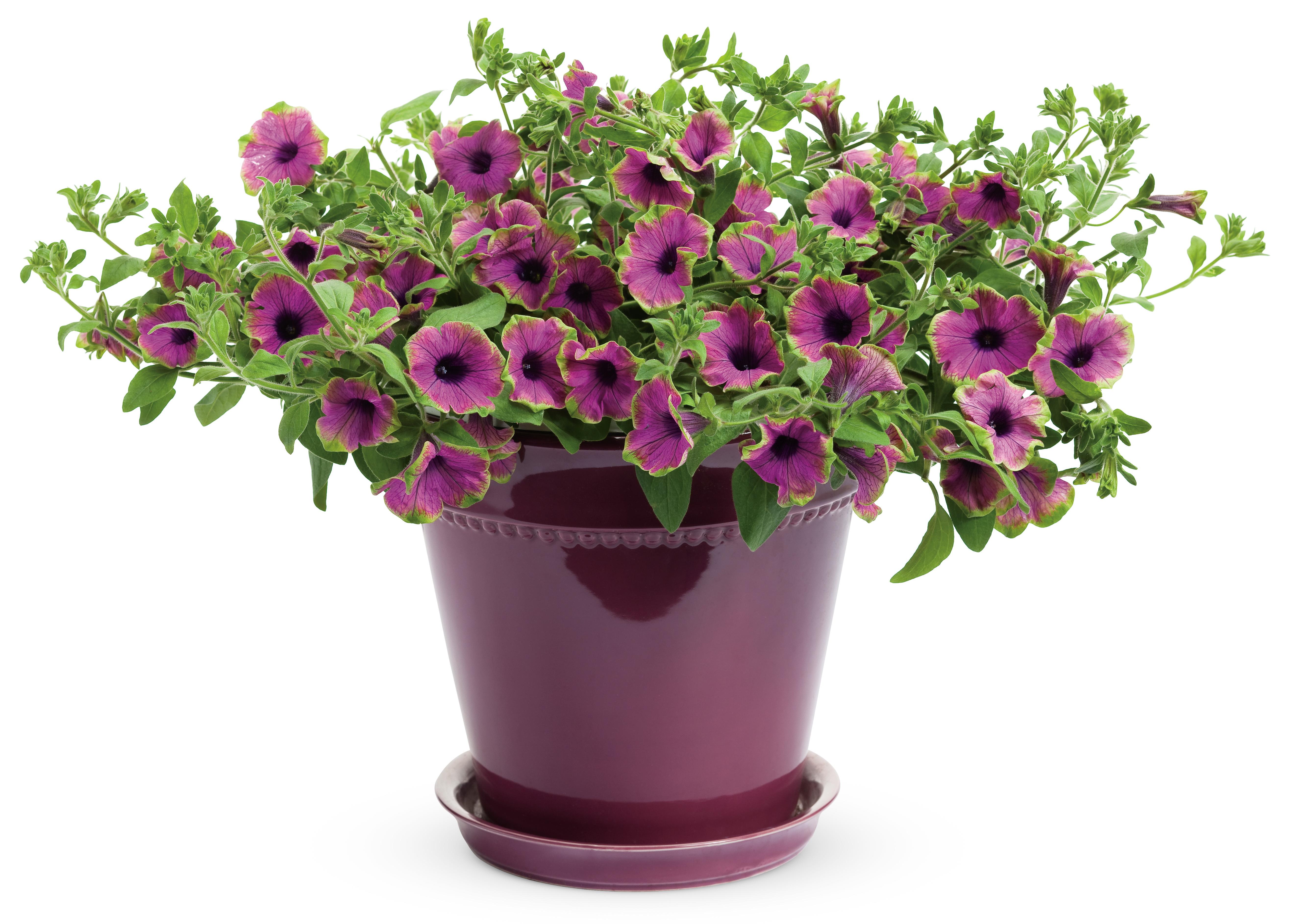 цветы петунья фото: