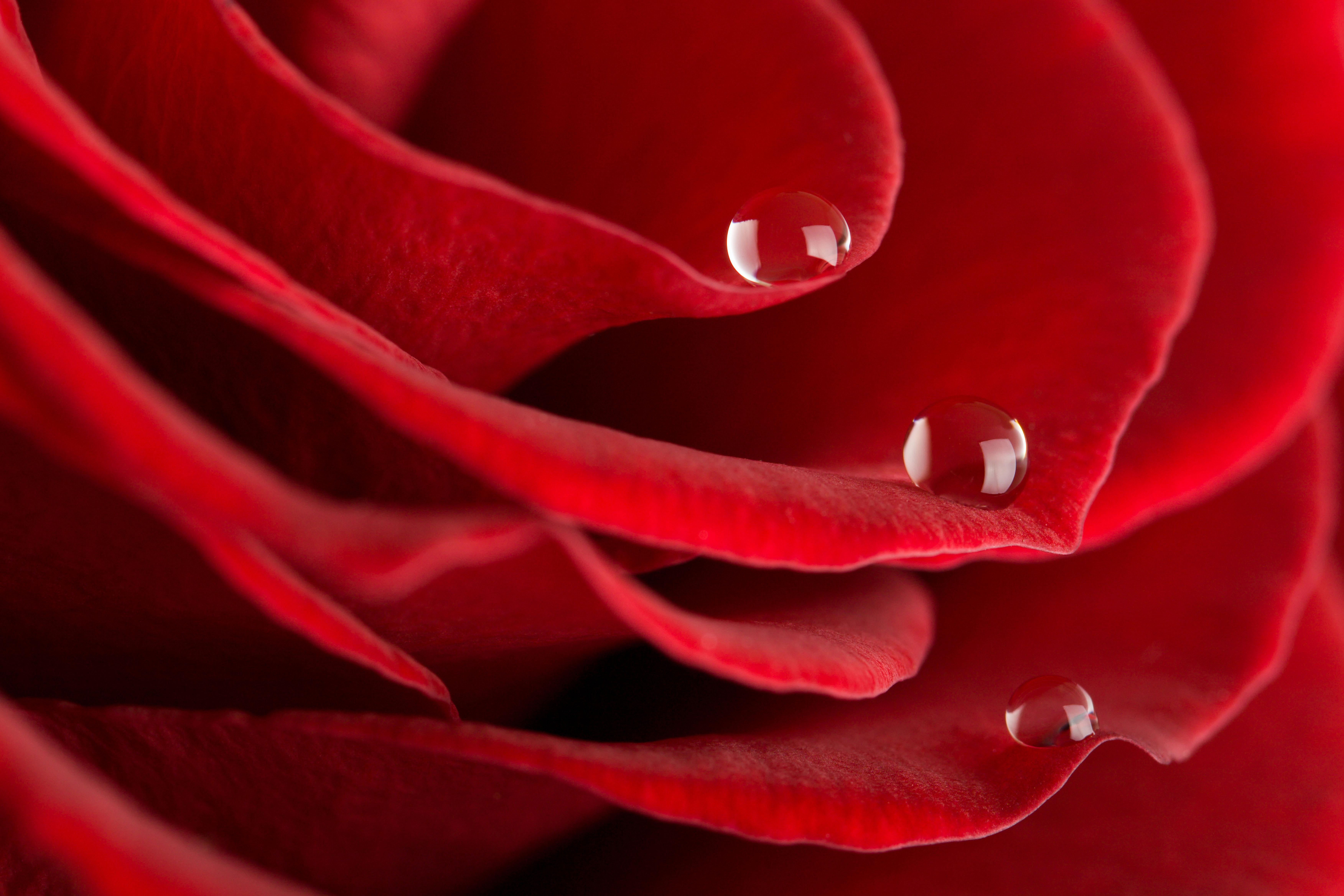 роза сердце капли  № 1395914  скачать