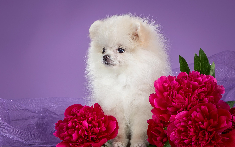 белые собаки щенки животные розовый фон  № 2918089  скачать