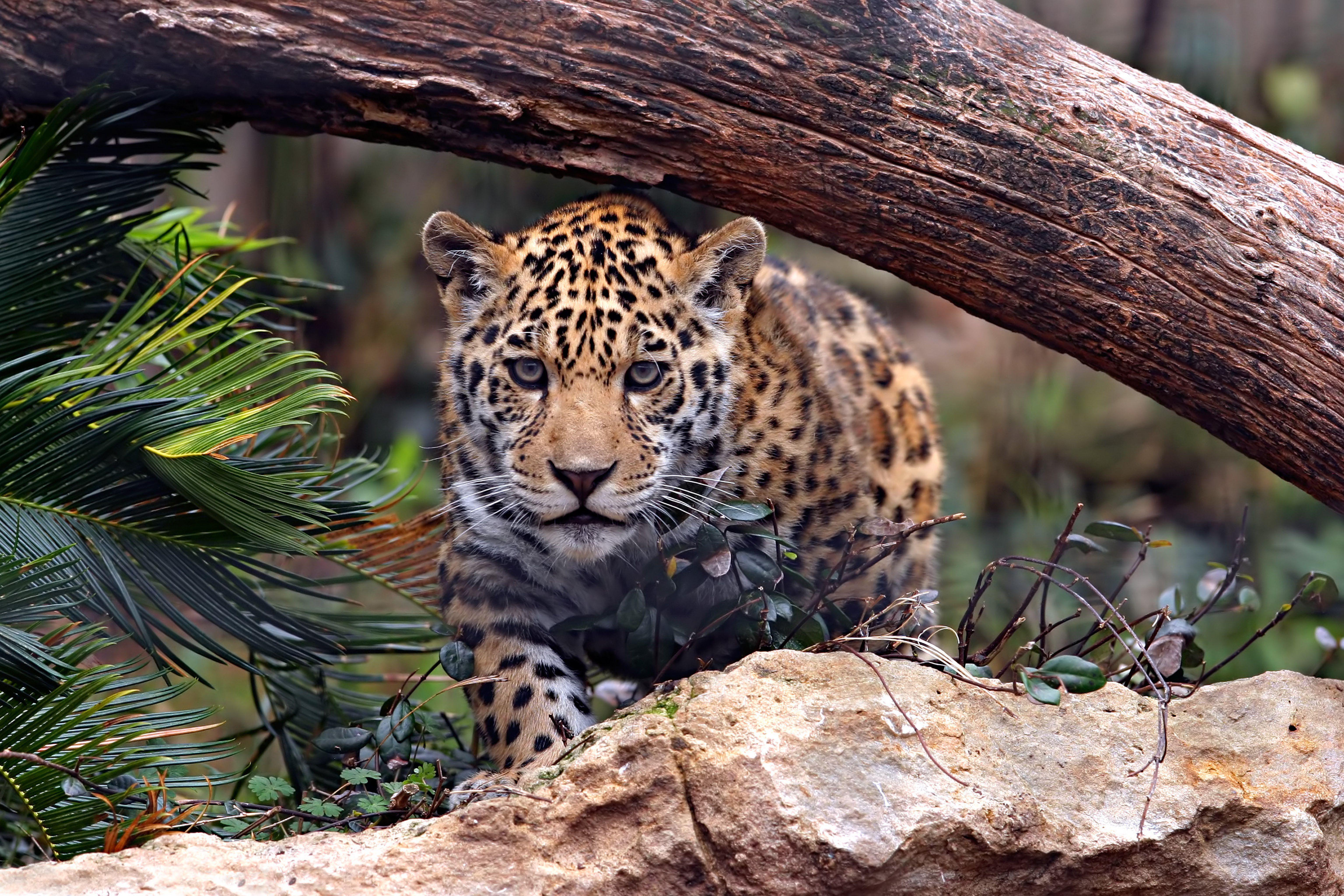 Ягуар хищник взгляд камни  № 3657938 загрузить