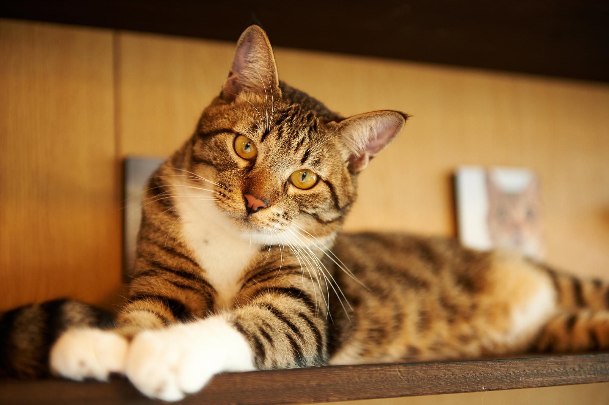 кот на полке cat on the shelf  № 1698006 загрузить