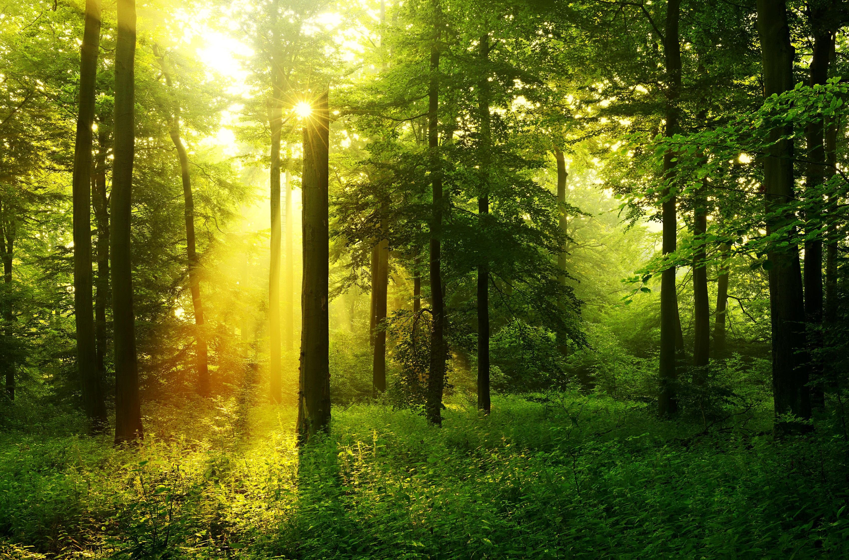 лес деревья солнечные лучи  № 917551 загрузить