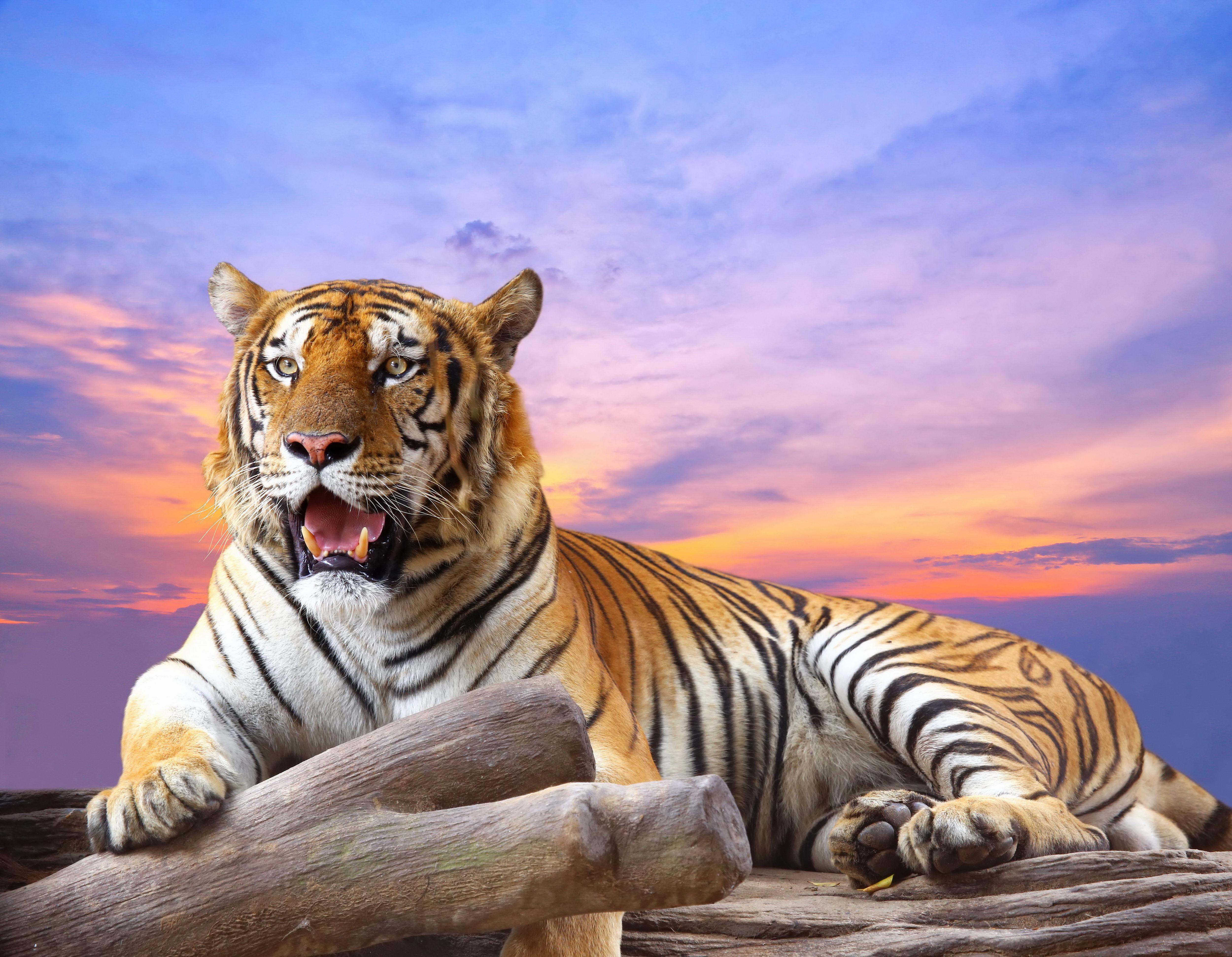 Тигр под пальмой тигр взгляд вверх  № 2081241 бесплатно