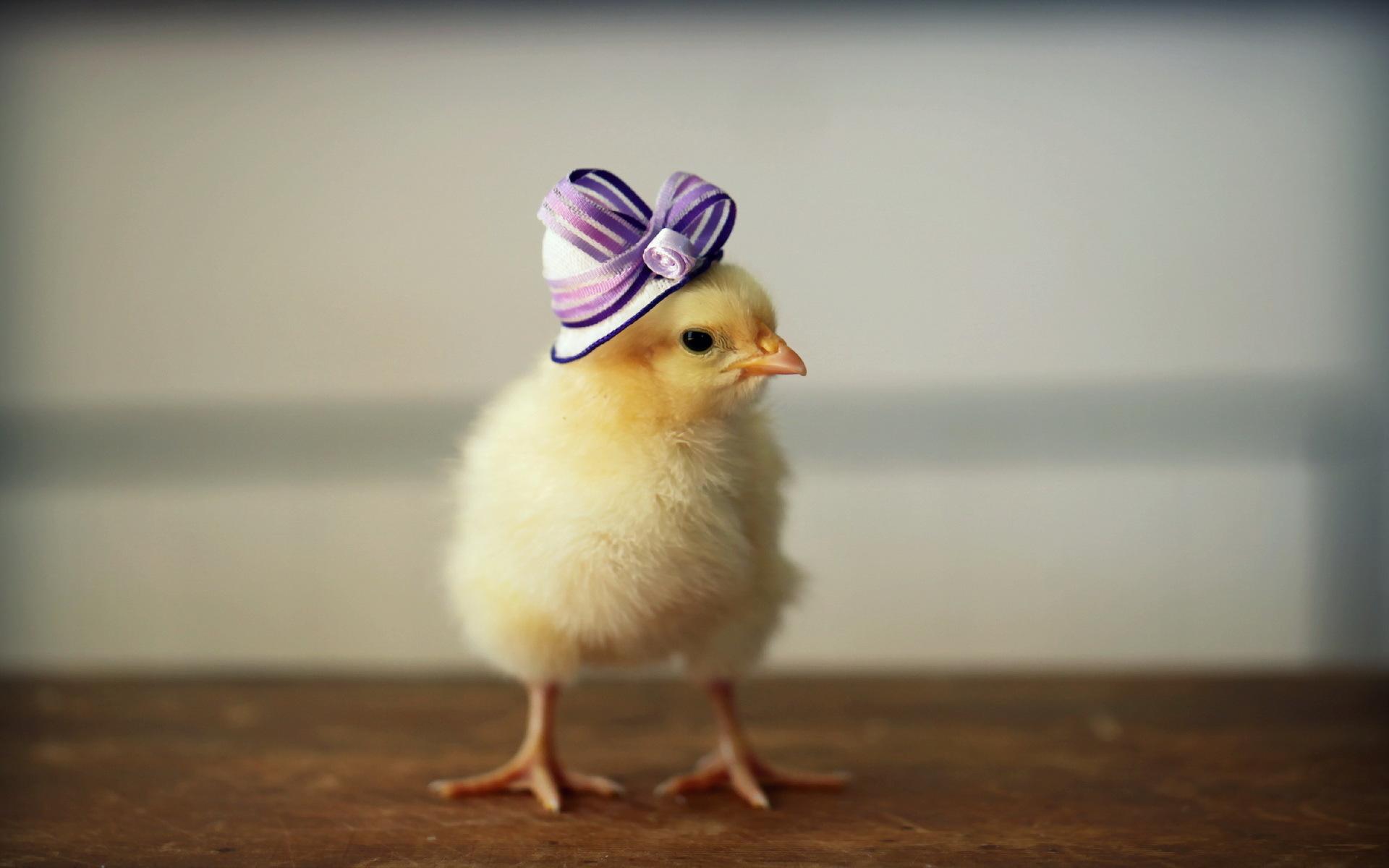 Картинки: цыплята модники  приколы на xa-: тысячи фото