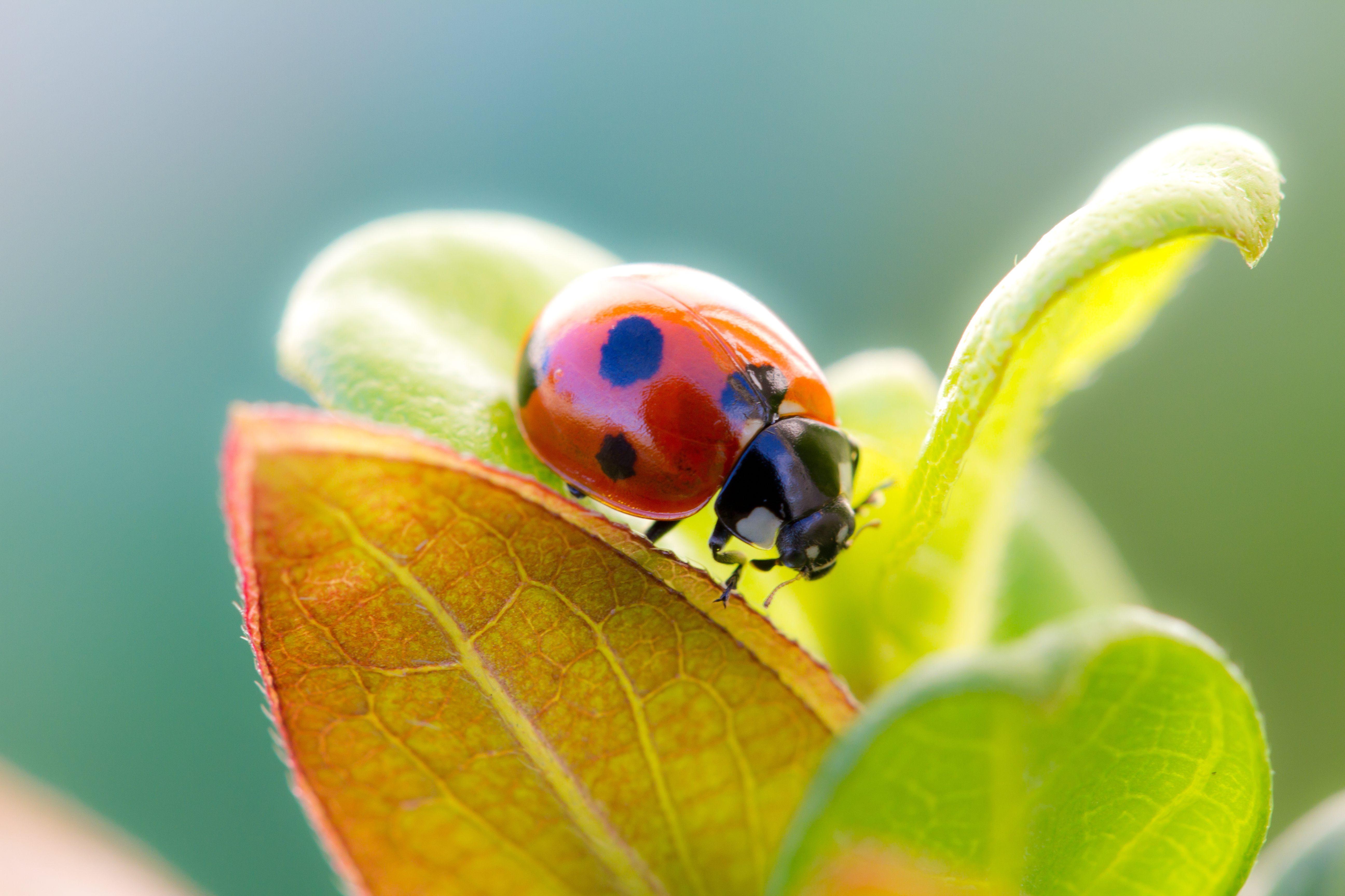 природа насекомое божья коровка цветок  № 3008059 без смс