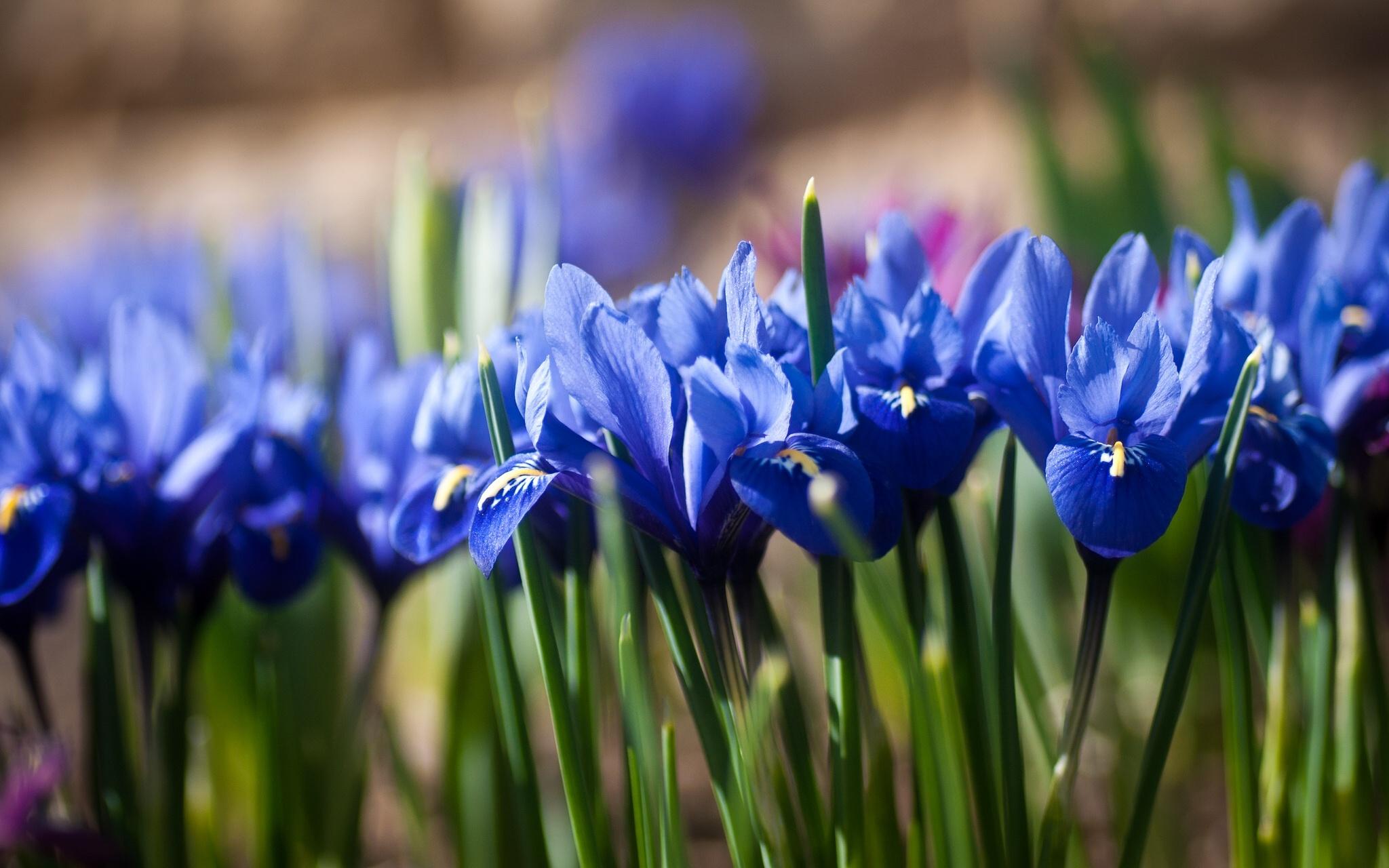 шмель,ирис,цветок,лето  № 529607  скачать
