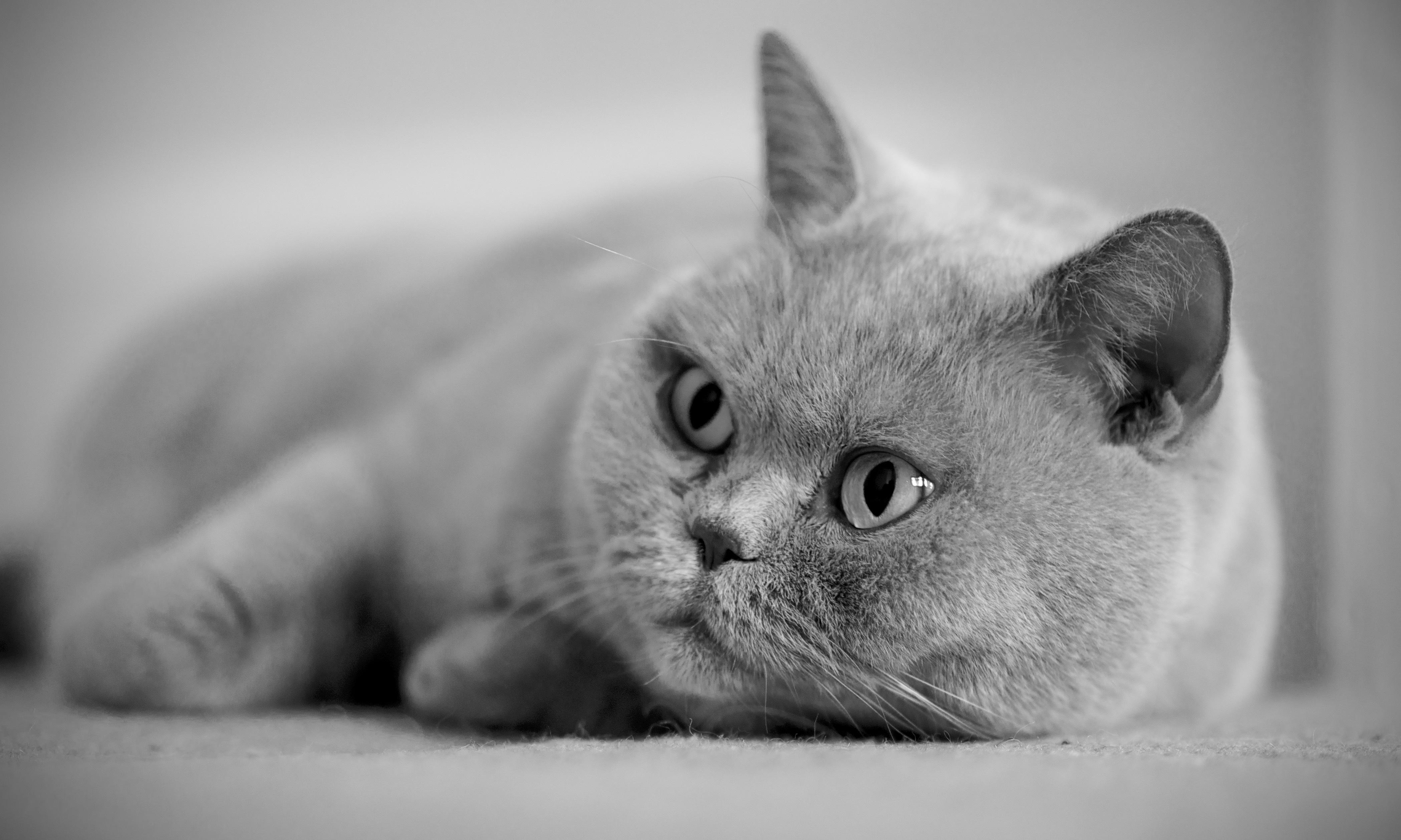 Серый кот  № 411993  скачать