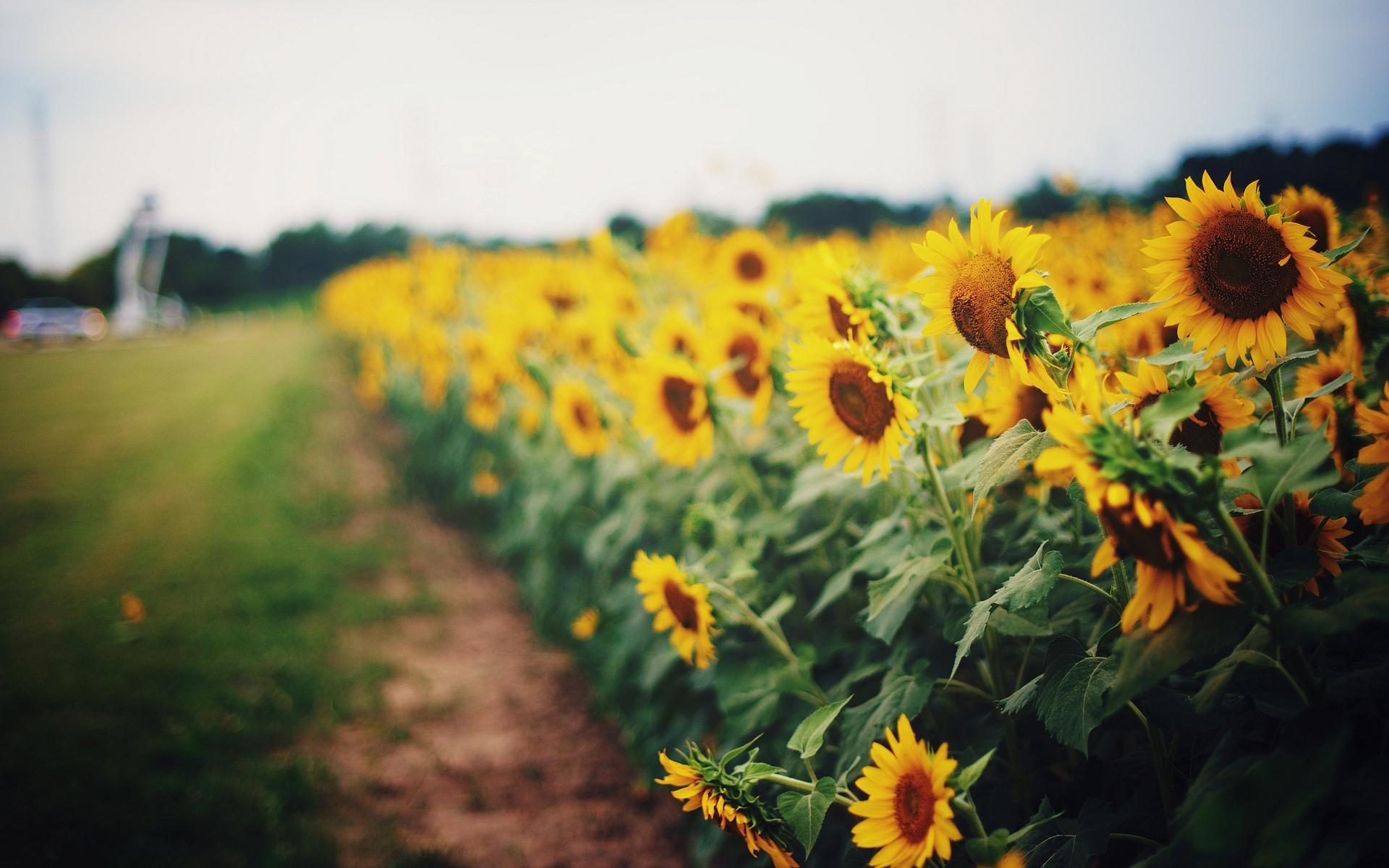 природа цветы подсолнечник  № 2671784 без смс