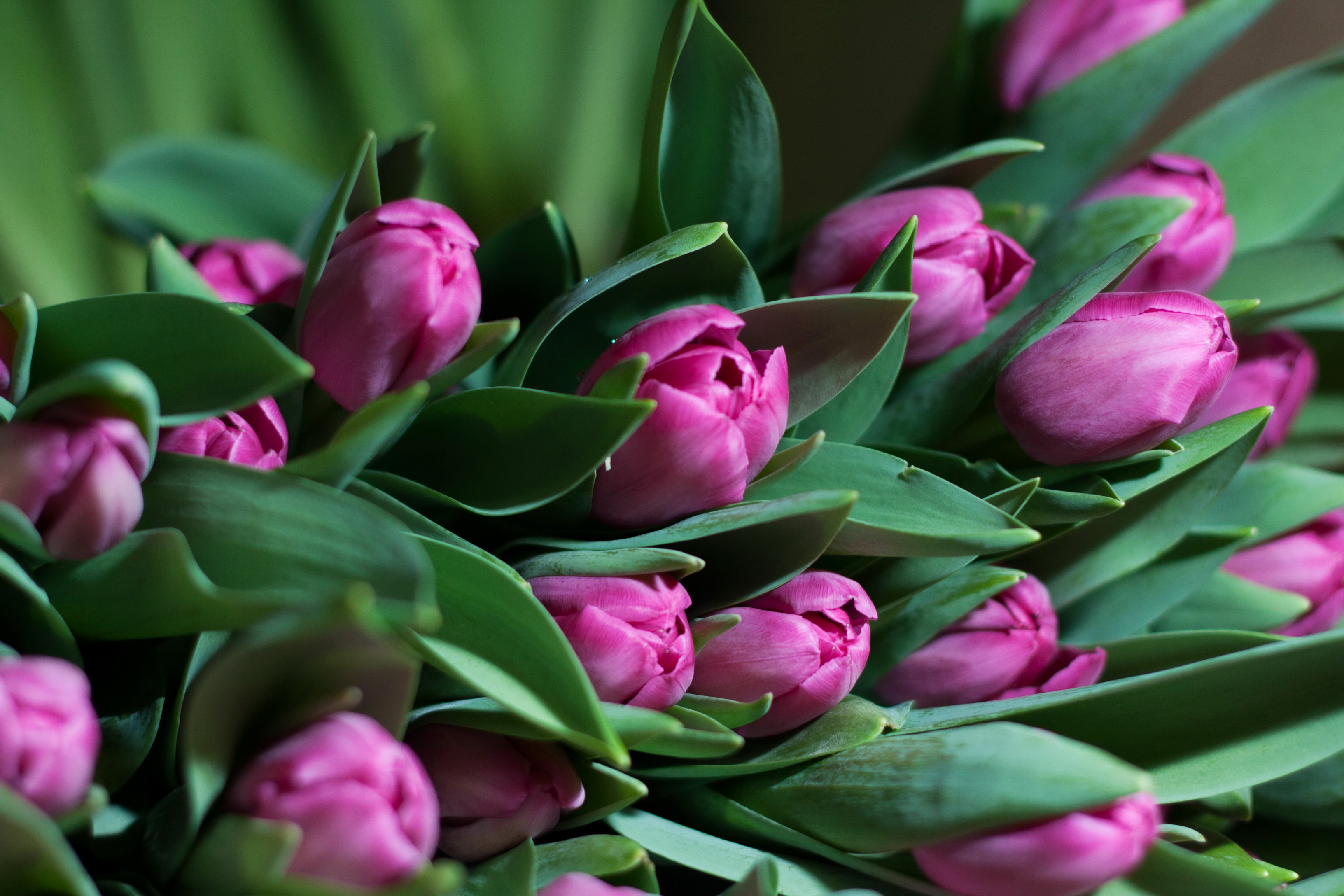 букет,тюльпаны,листья  № 415744 бесплатно