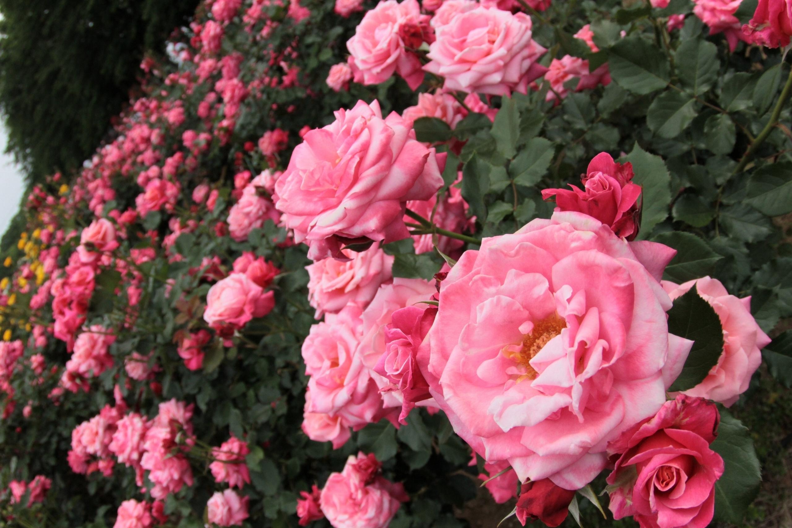 Обои для рабочего стола розы в саду