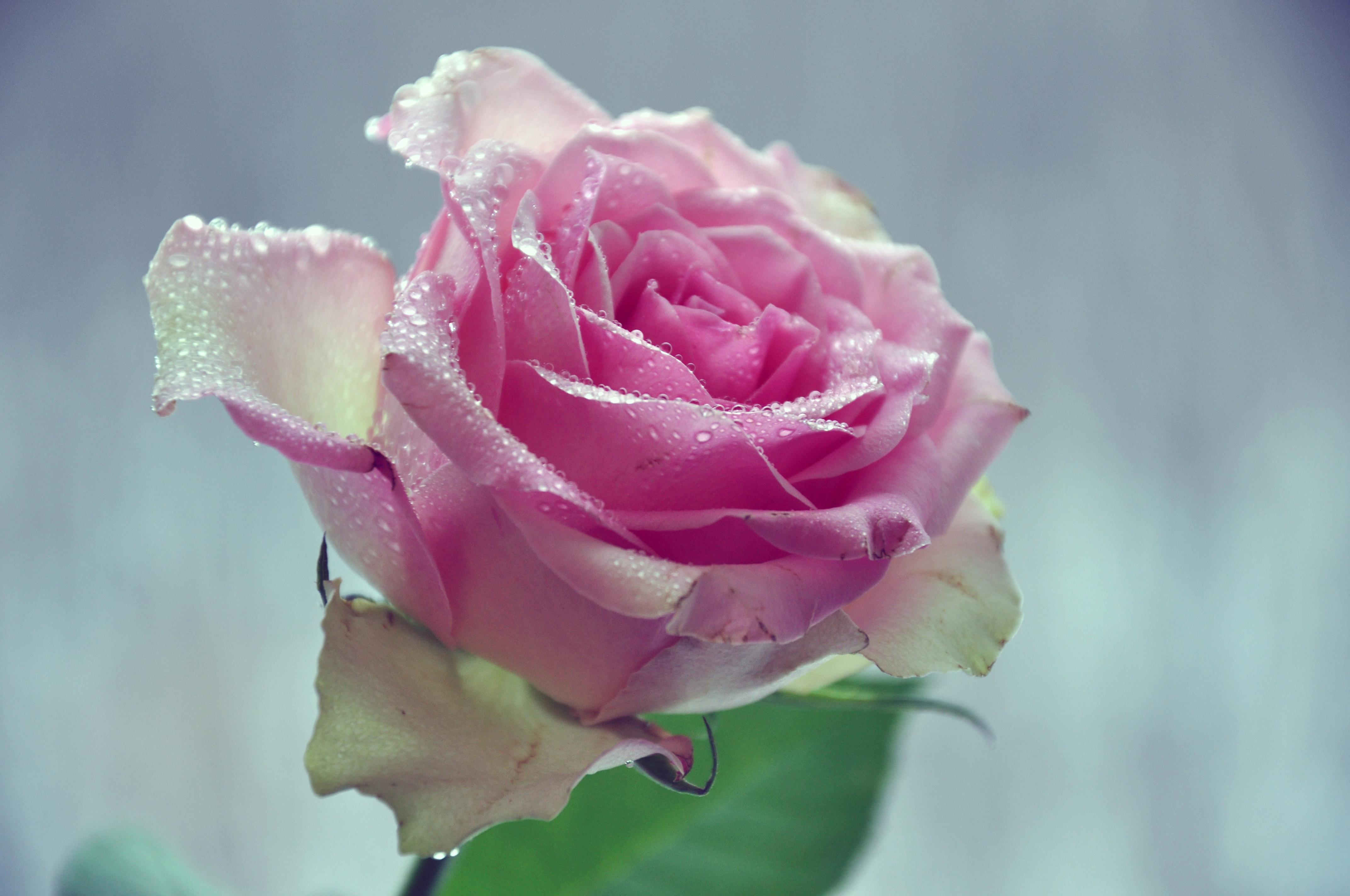 Обои Розы Крупным планом Капли Розовый Мокрые Цветы Фото 345845.