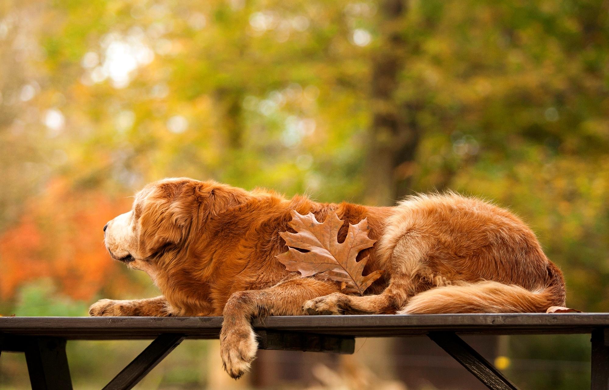 природа животные собака осень листья  № 2019447  скачать