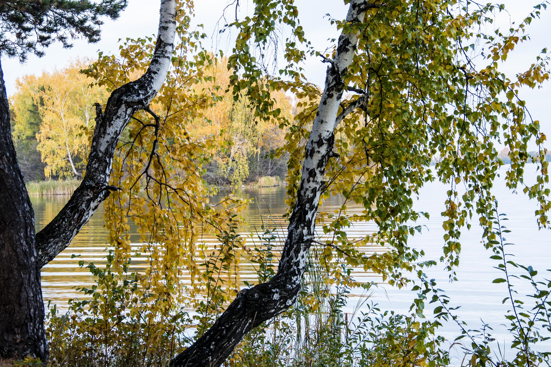 березы берег озеро  № 1195429  скачать