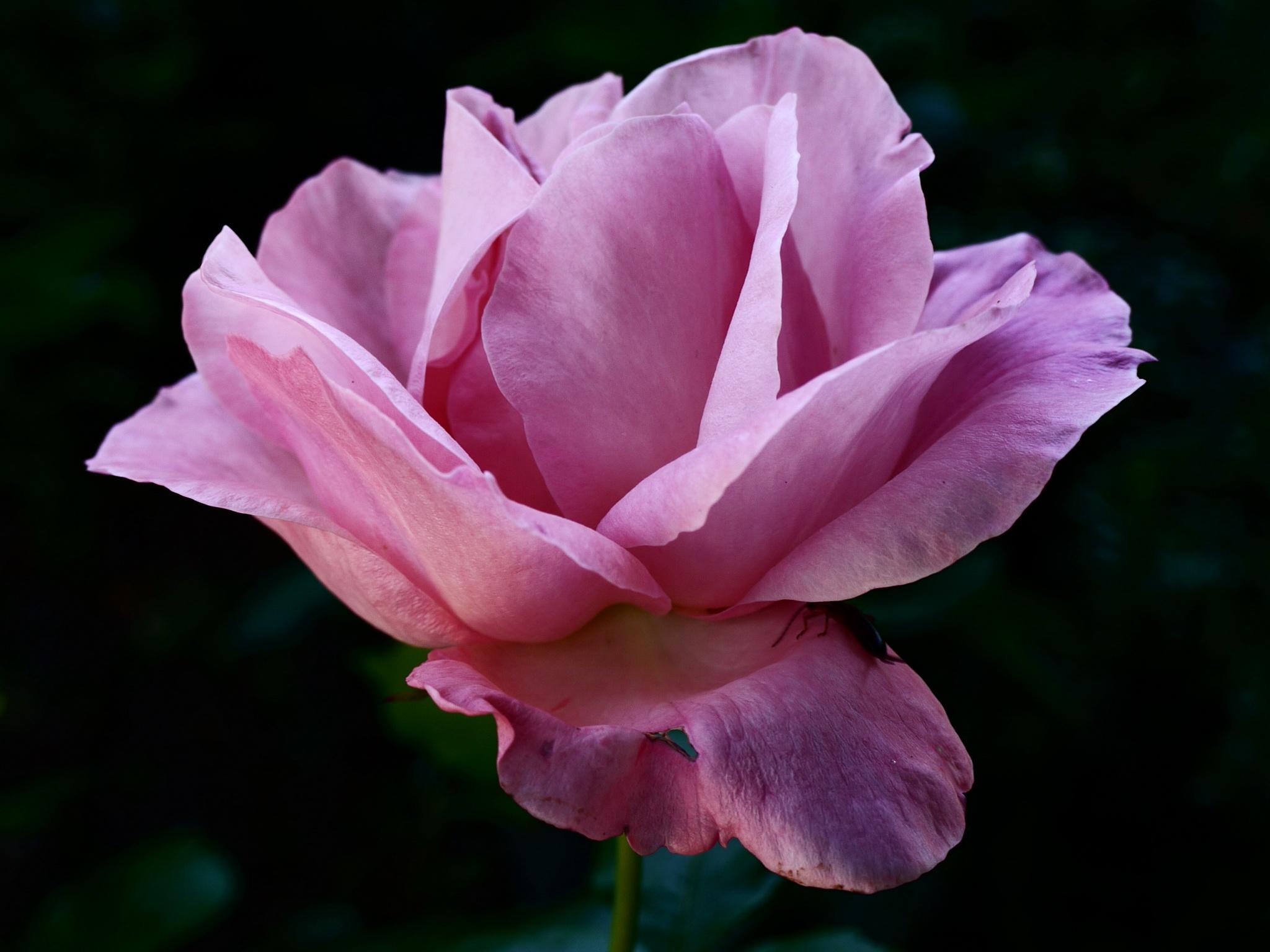 фиолетовый цветок фото: