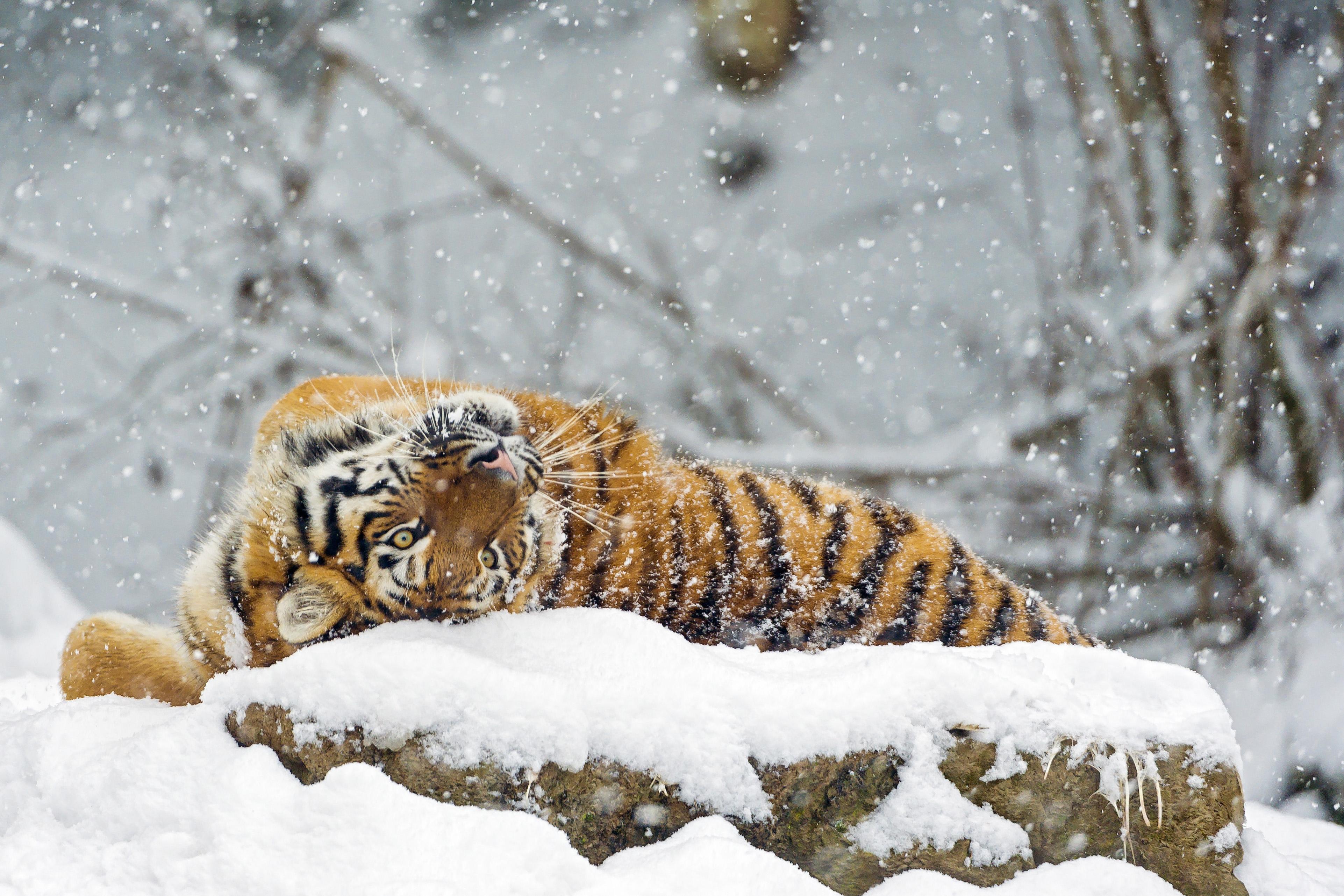 белый тигр на снегу  № 988843 бесплатно