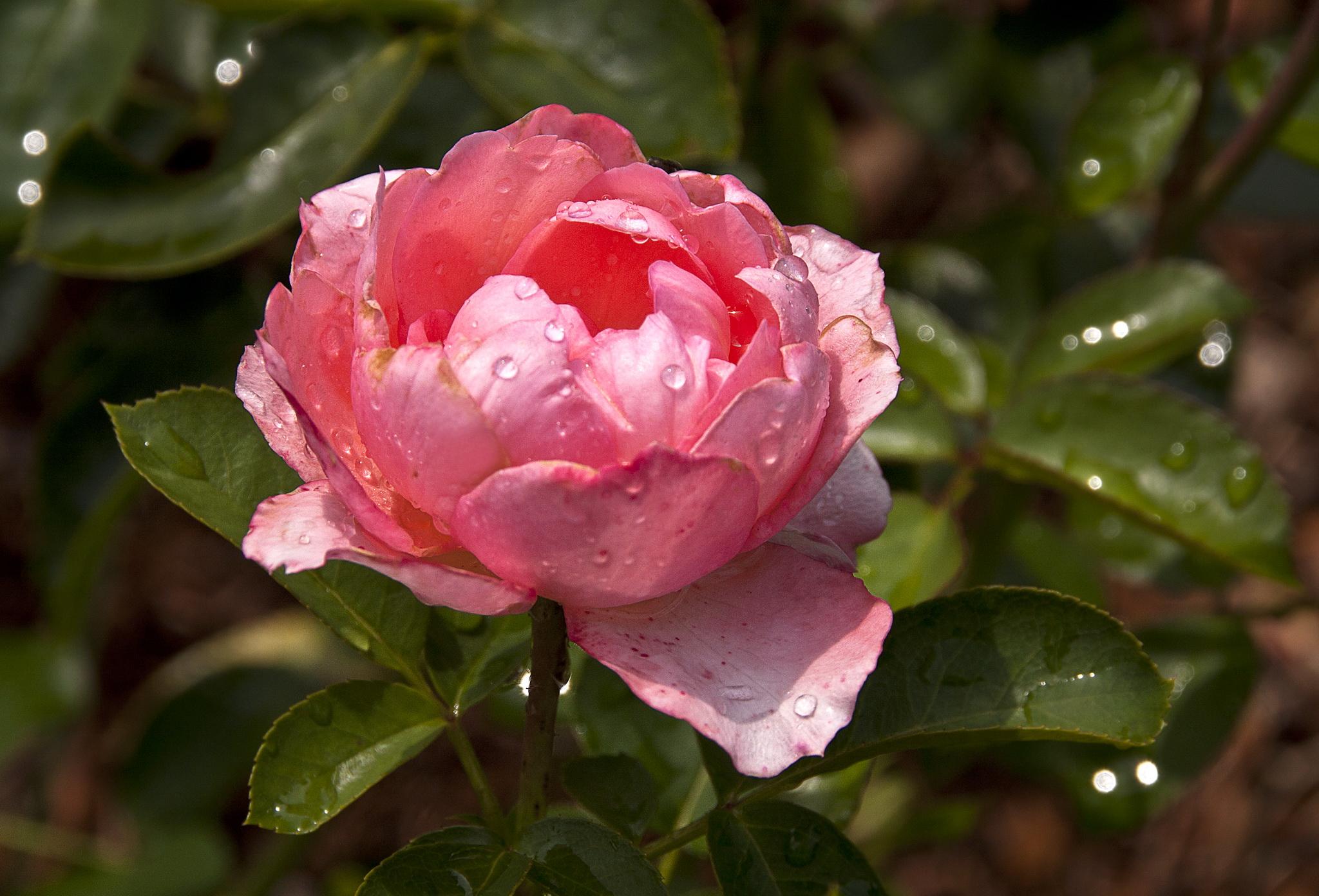 Обои Розы Крупным планом Капли Мокрые Цветы Фото 349478.