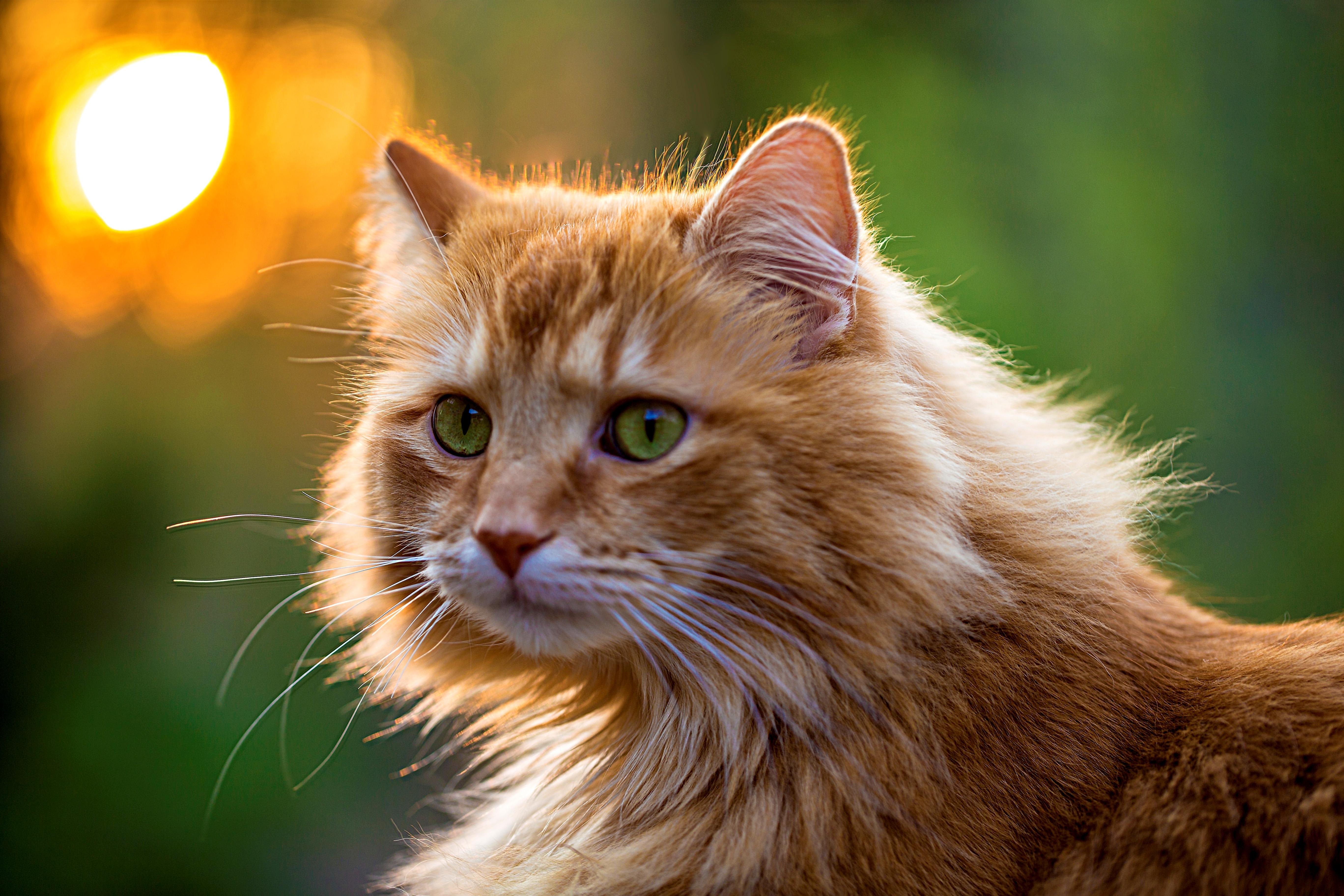 природа животные рыжий кот  № 941094  скачать