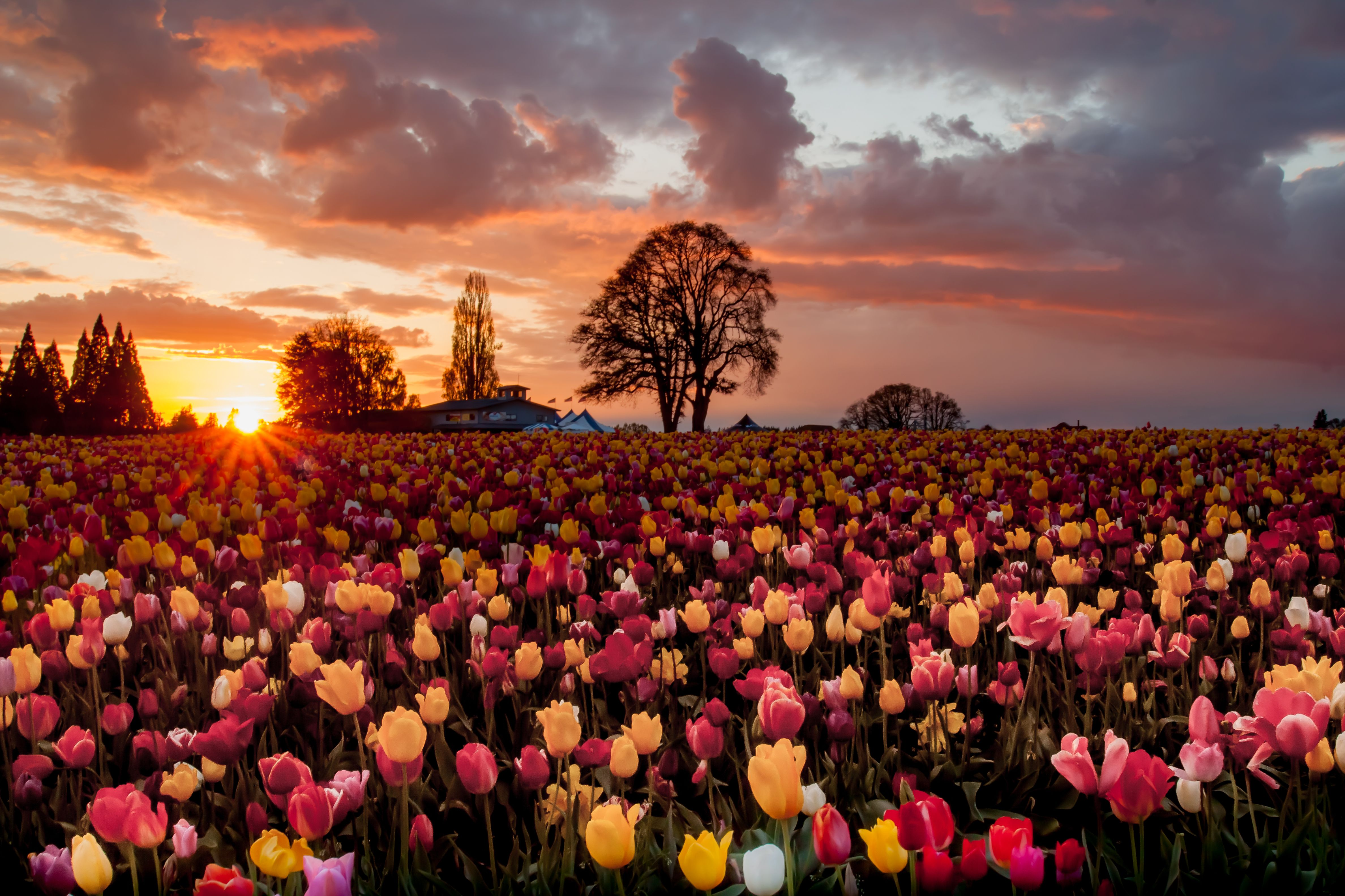 тюльпаны поляна закат  № 3285794 загрузить