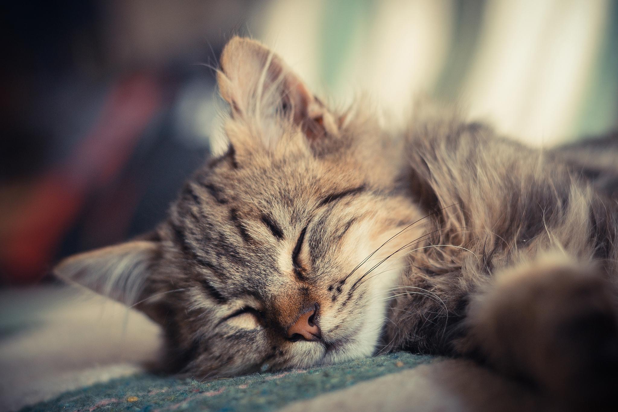 Спящий кот  № 1059236  скачать