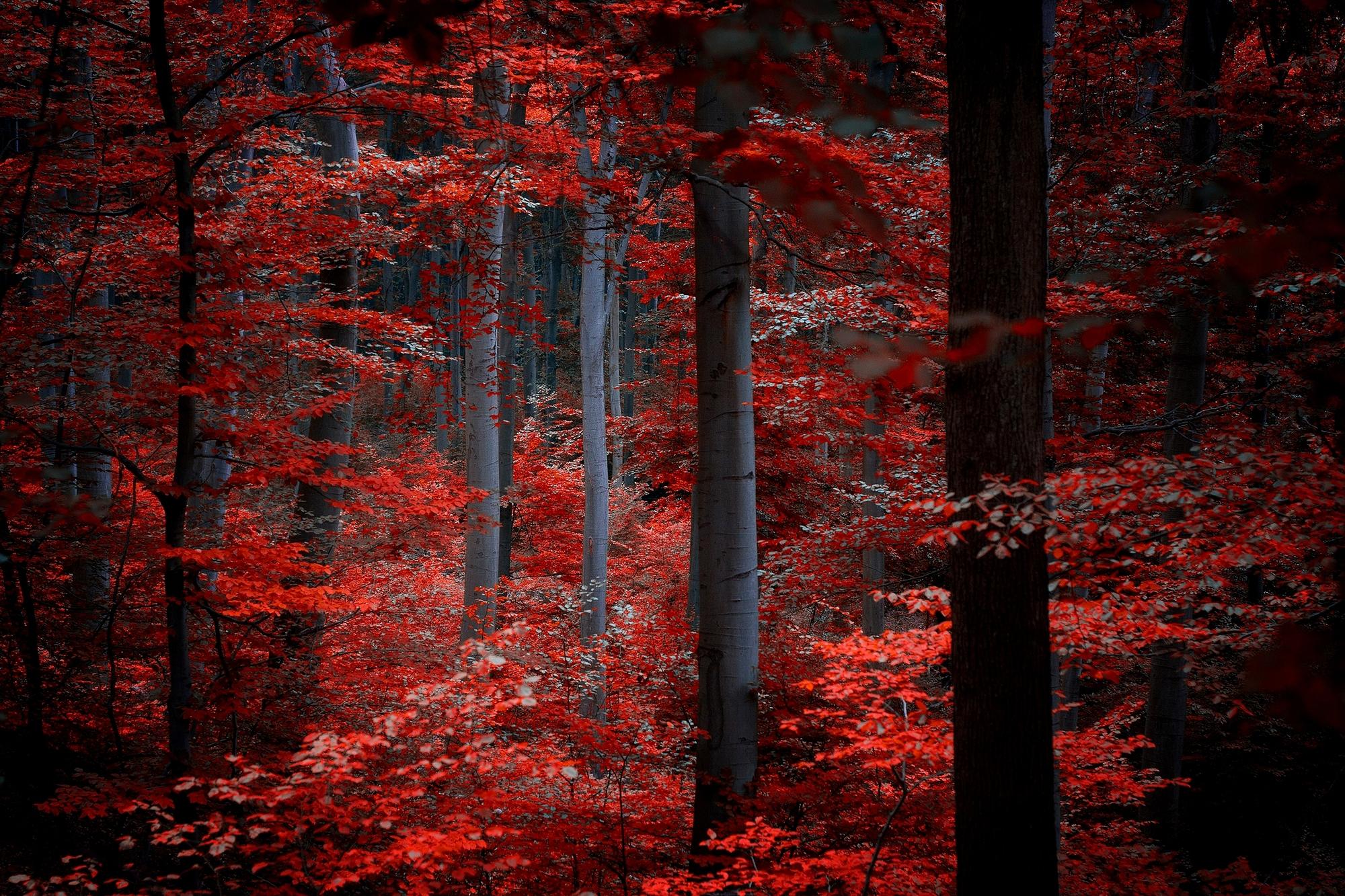 красные деревья  № 1276218 бесплатно