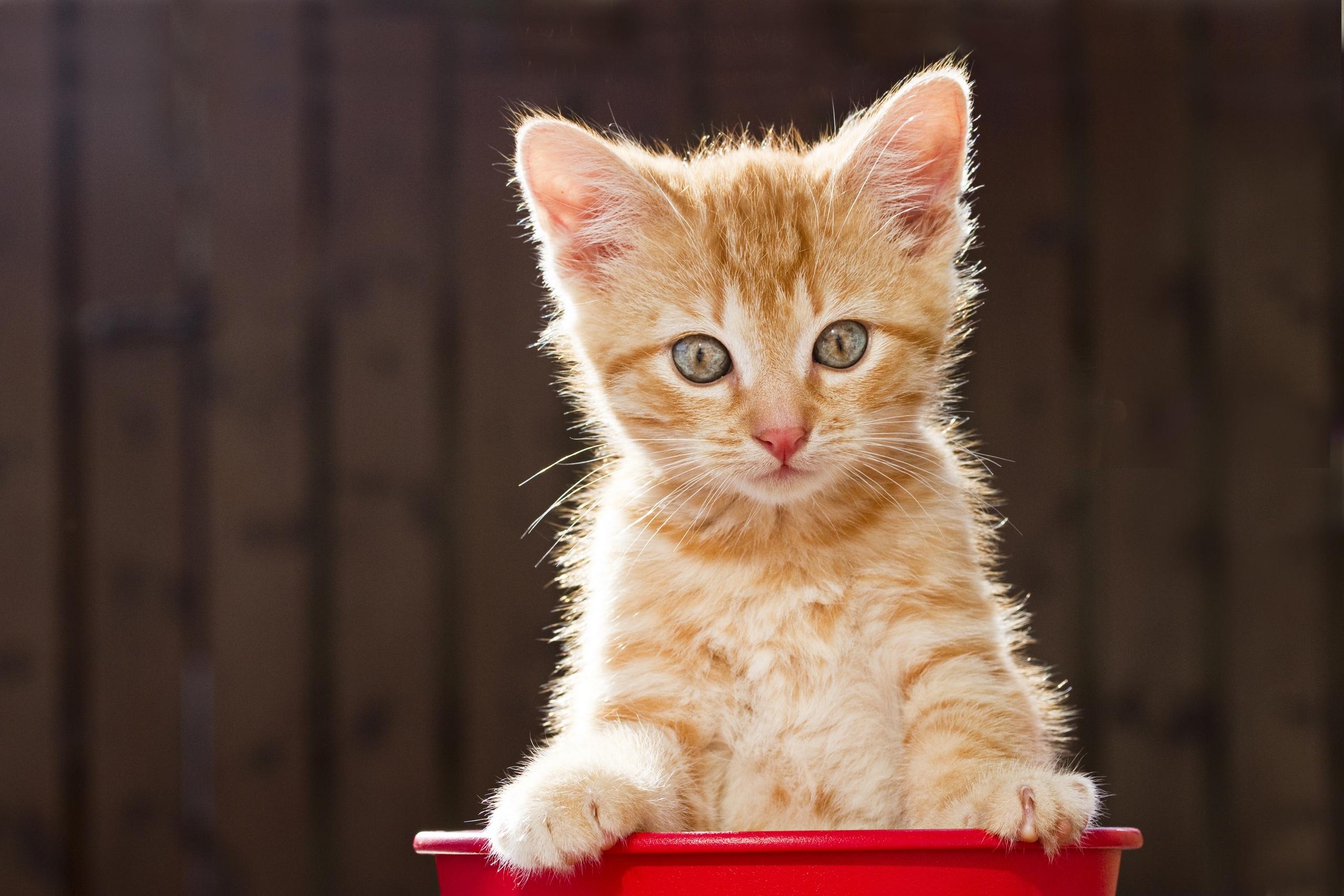 Рыжий котенок  № 1144321 бесплатно