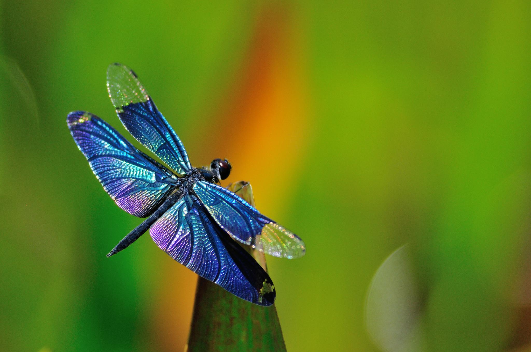 природа макро животные насекомое стрекоза  № 2748074 без смс