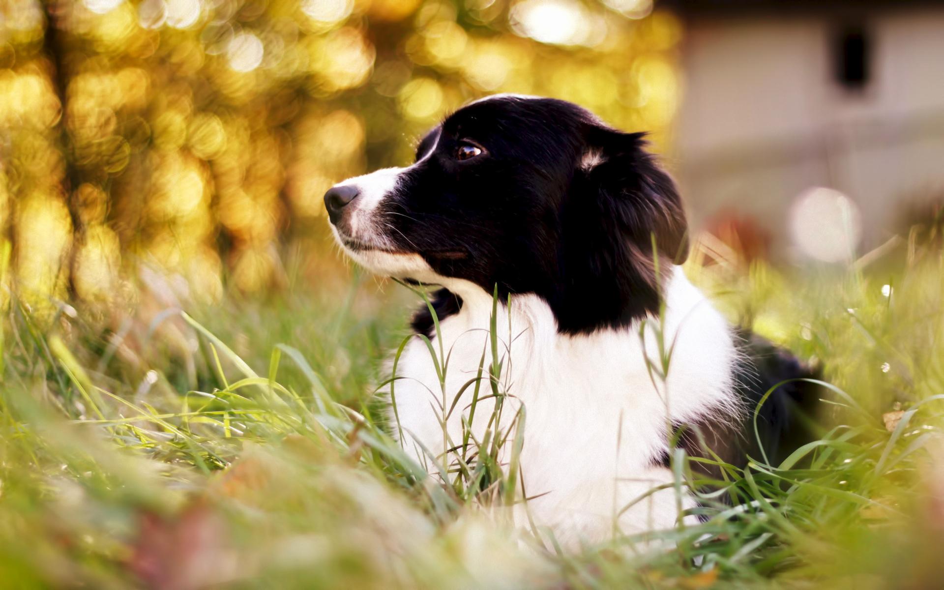 природа белая собака животное улыбка  № 1423958  скачать