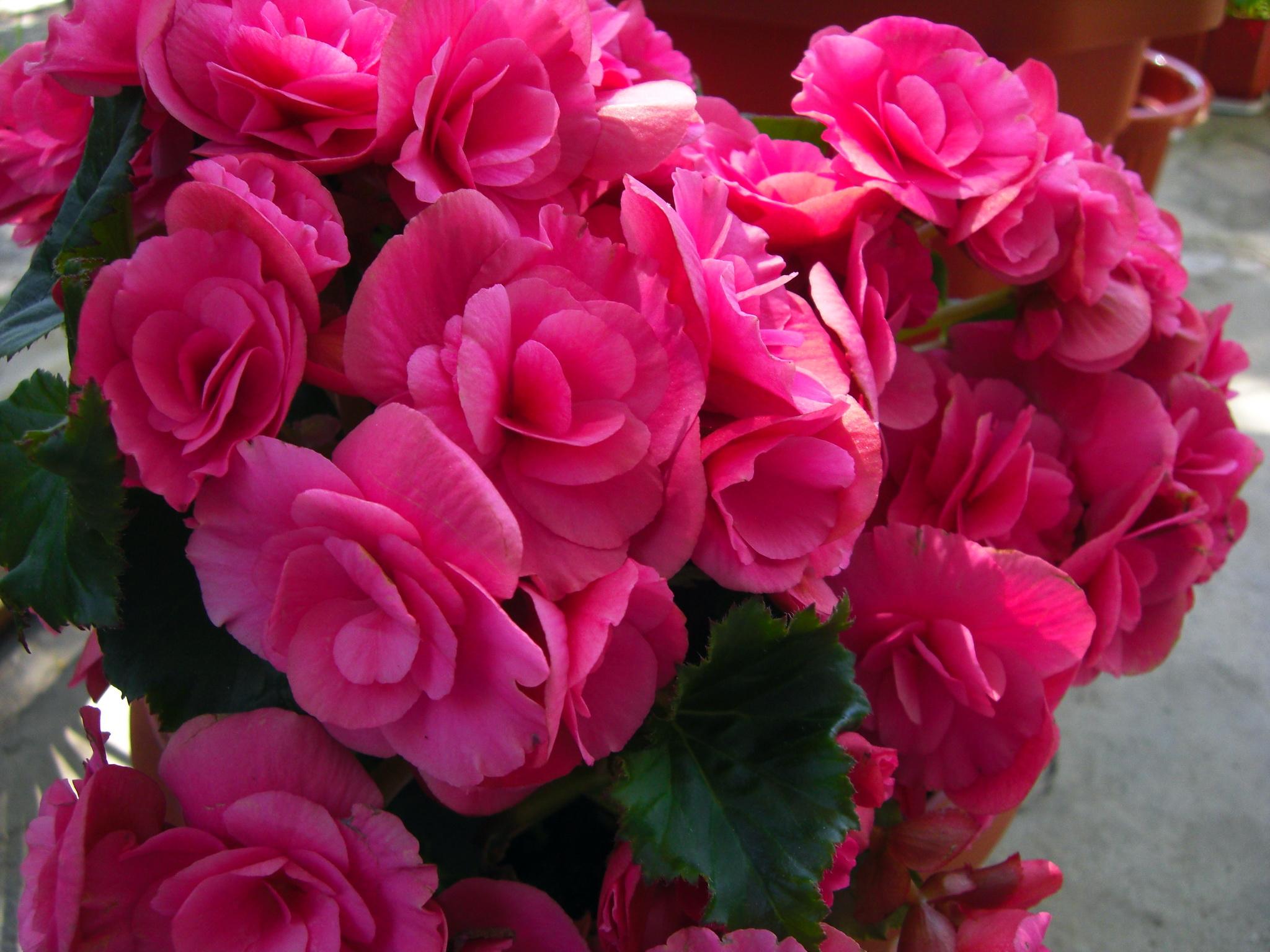 фото цветов бегония: