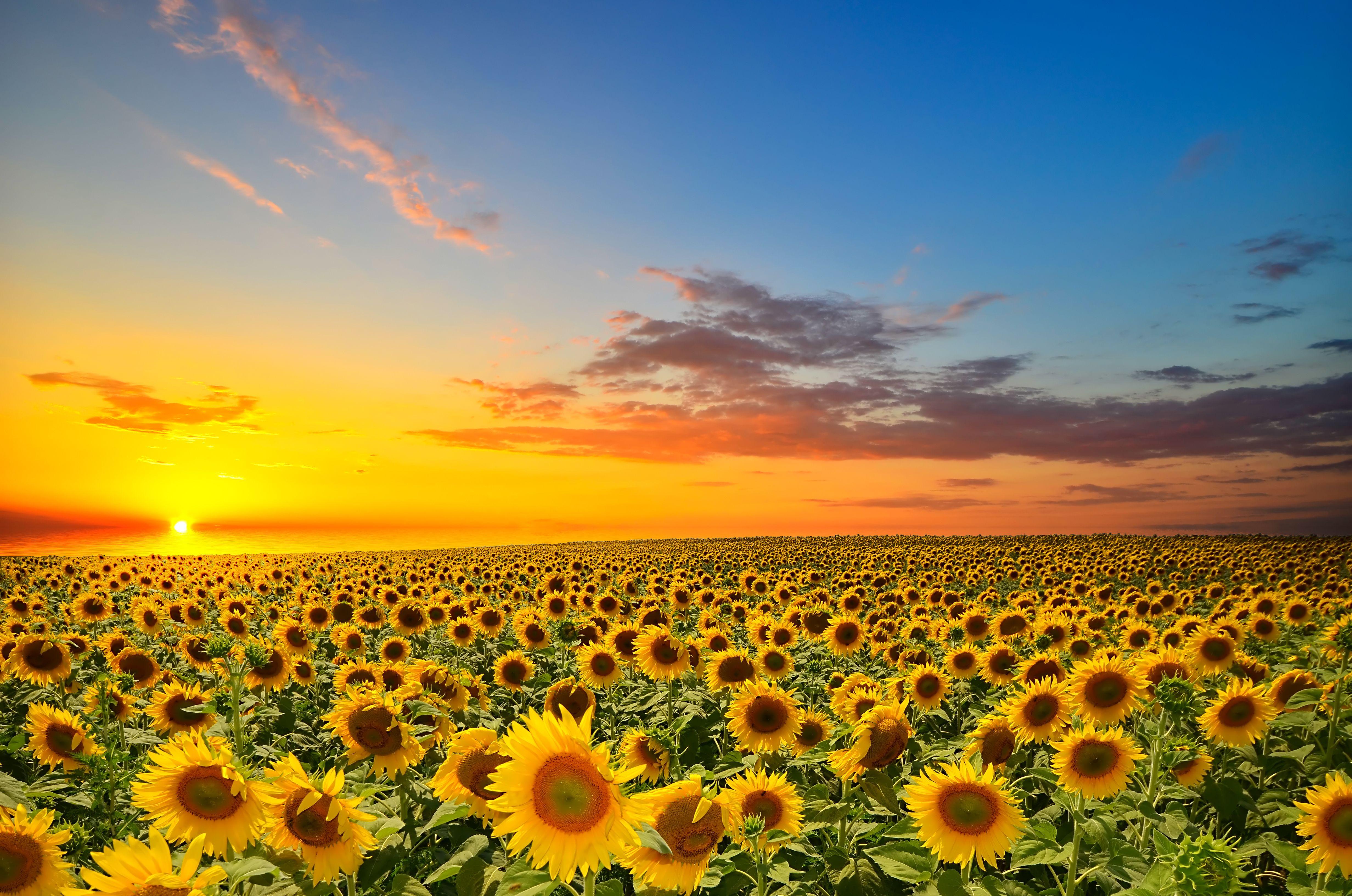 поле желтое закат  № 680828  скачать