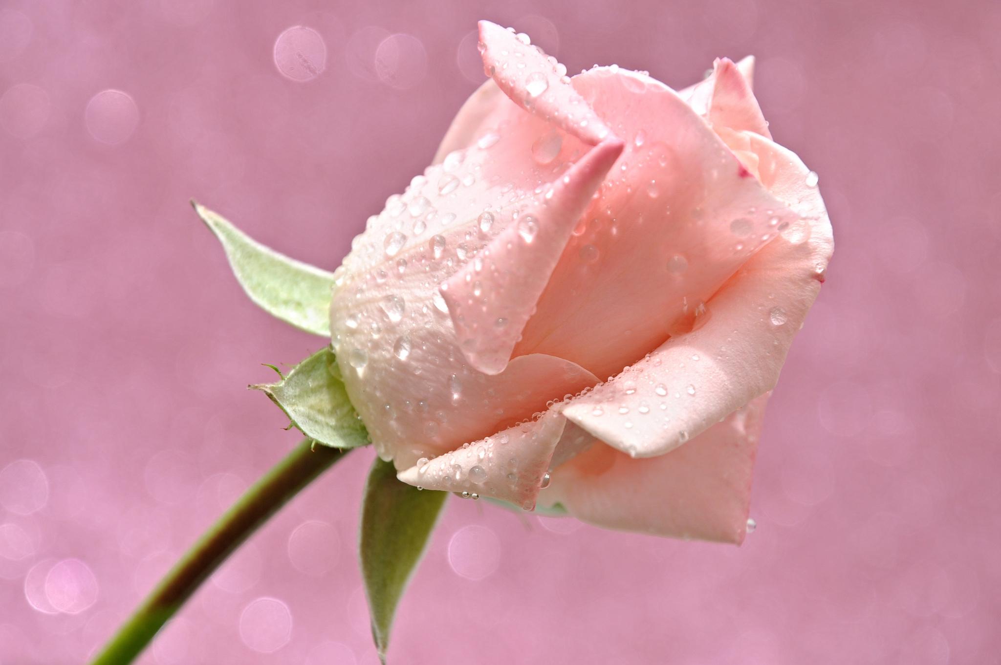 Роса на лепестках розы  № 2451494 бесплатно