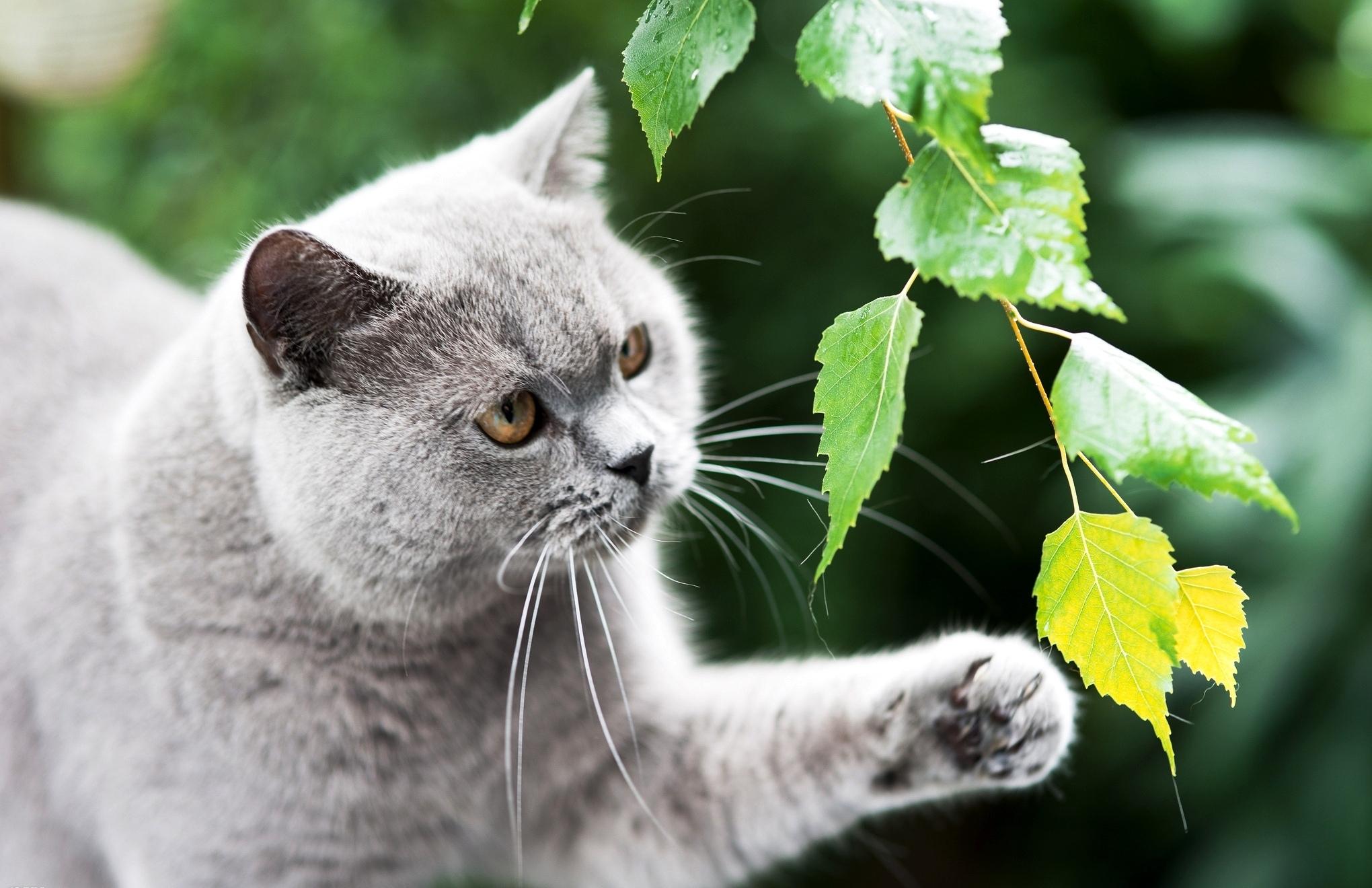 Серый кот  № 411927 бесплатно