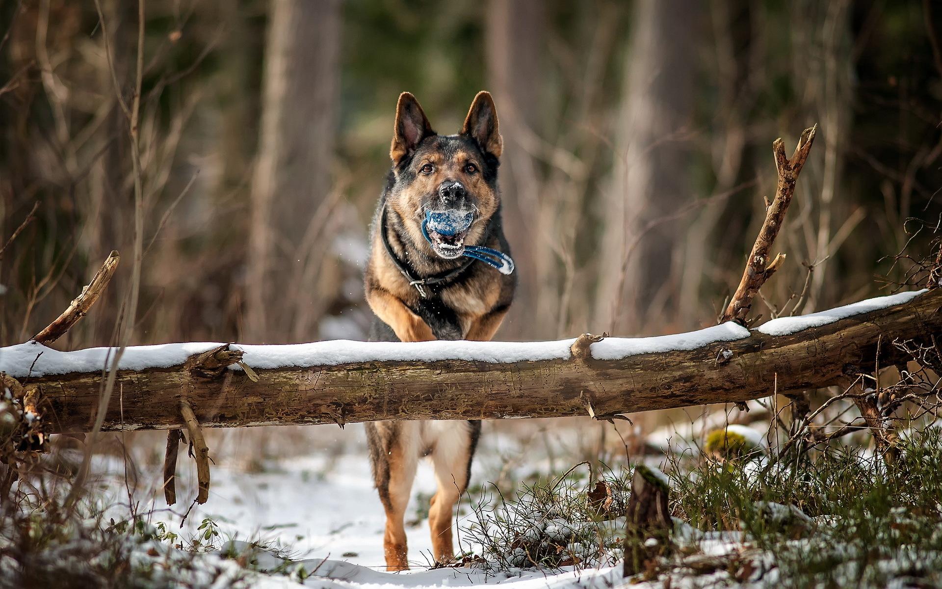 пёс язык собака на бревне  № 2524060 загрузить