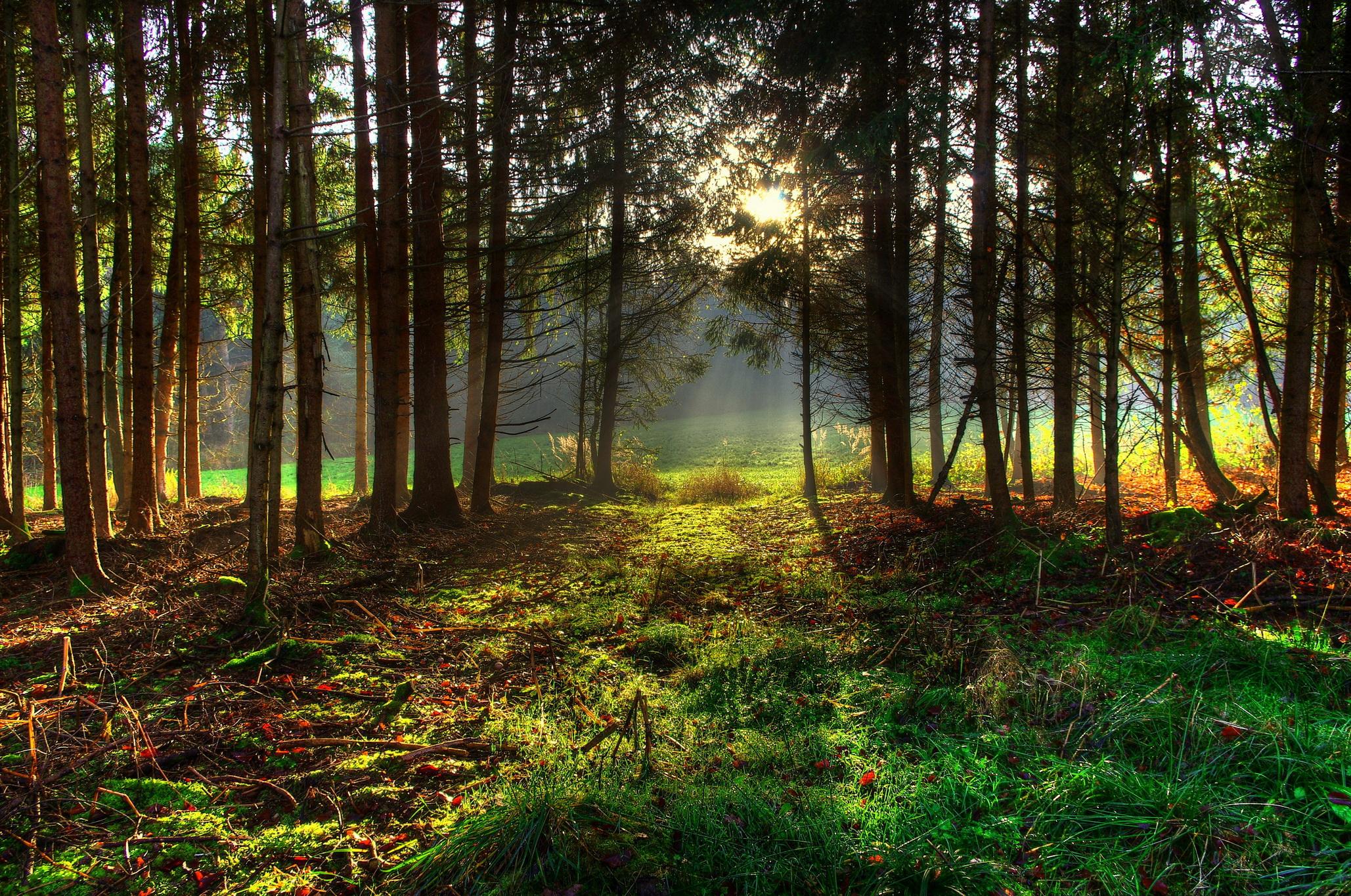 Хвойный лес обои на рабочий стол в высоком качестве