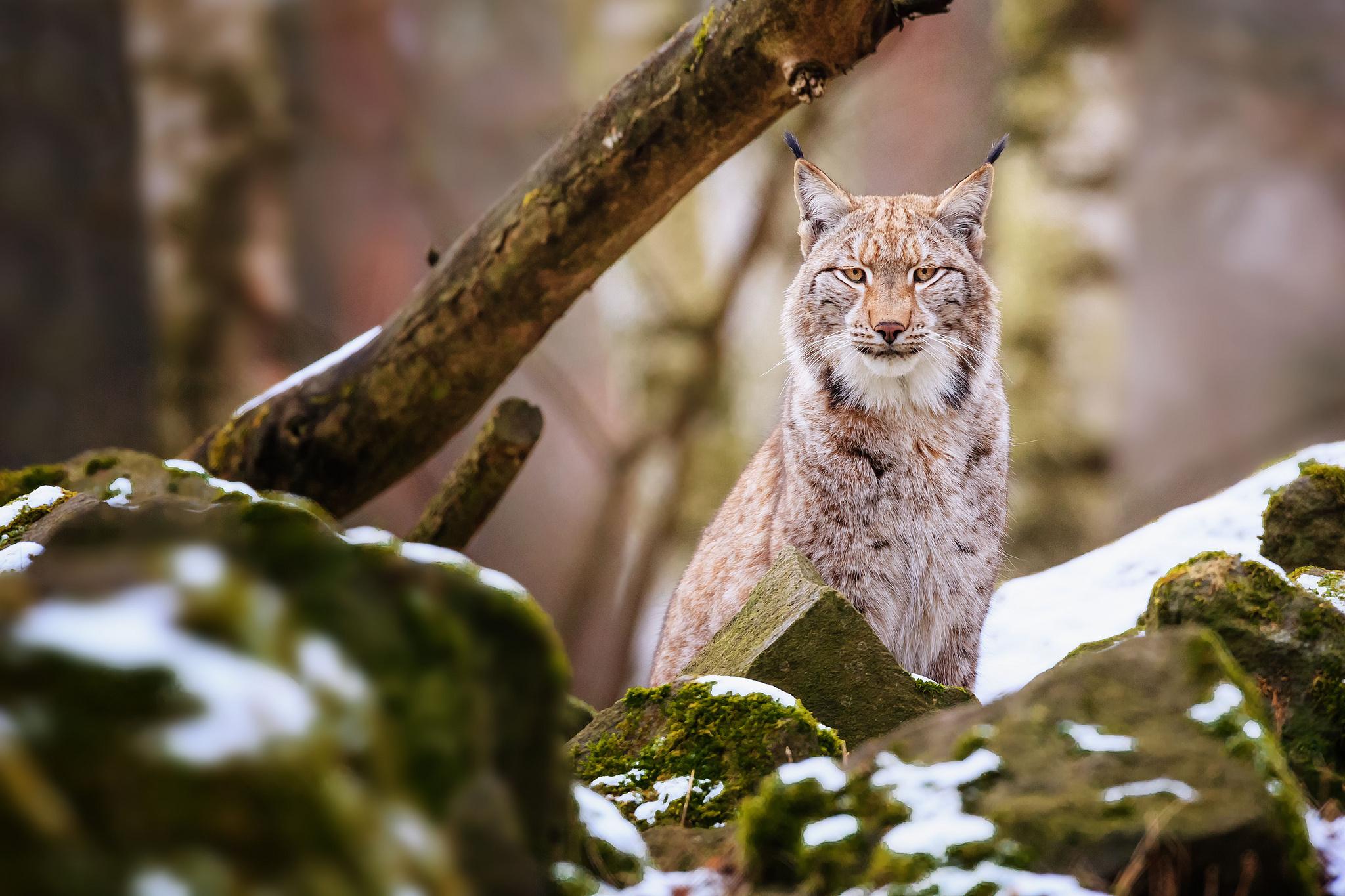 природа животные ветка деревья рысь nature animals branch trees lynx  № 559953  скачать