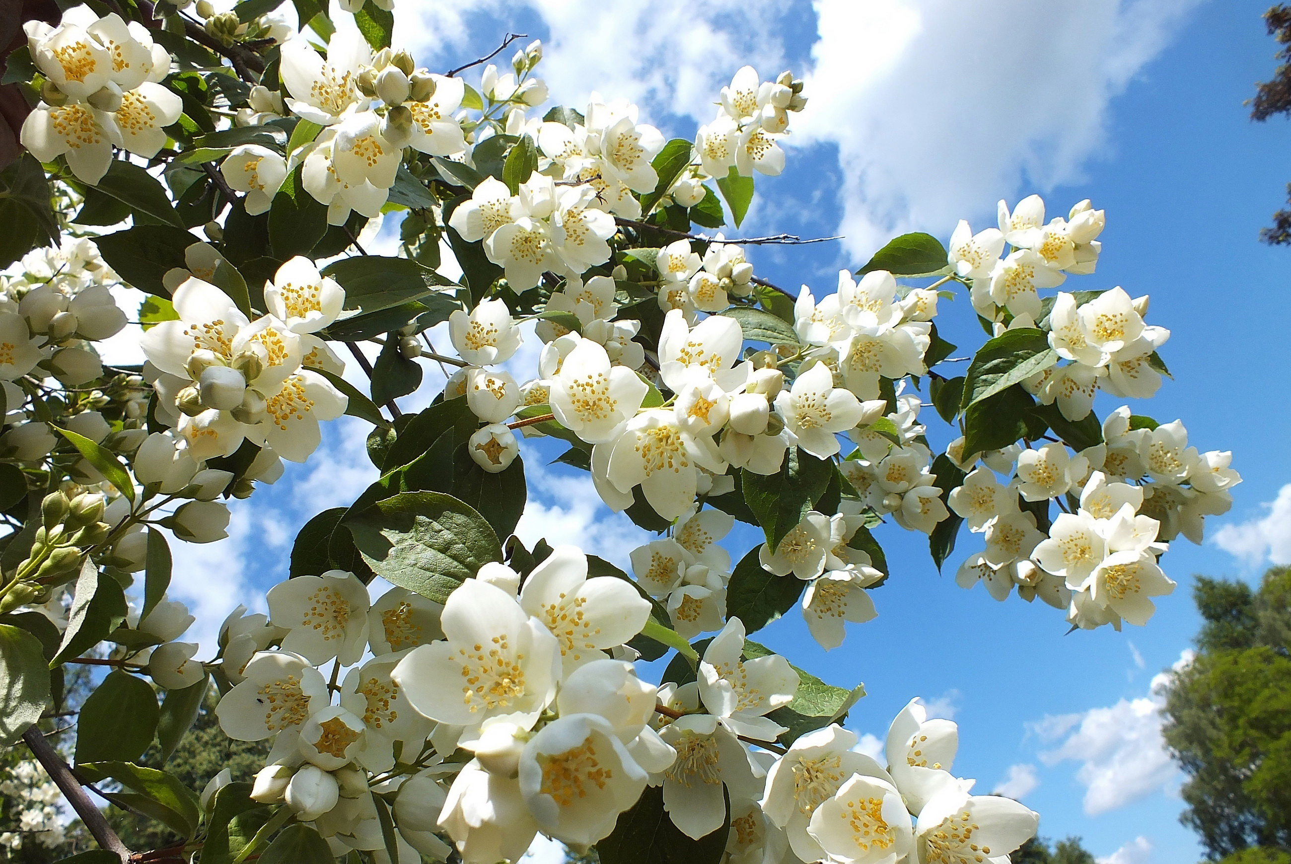 обои цветущие деревья для рабочего стола № 431654 бесплатно