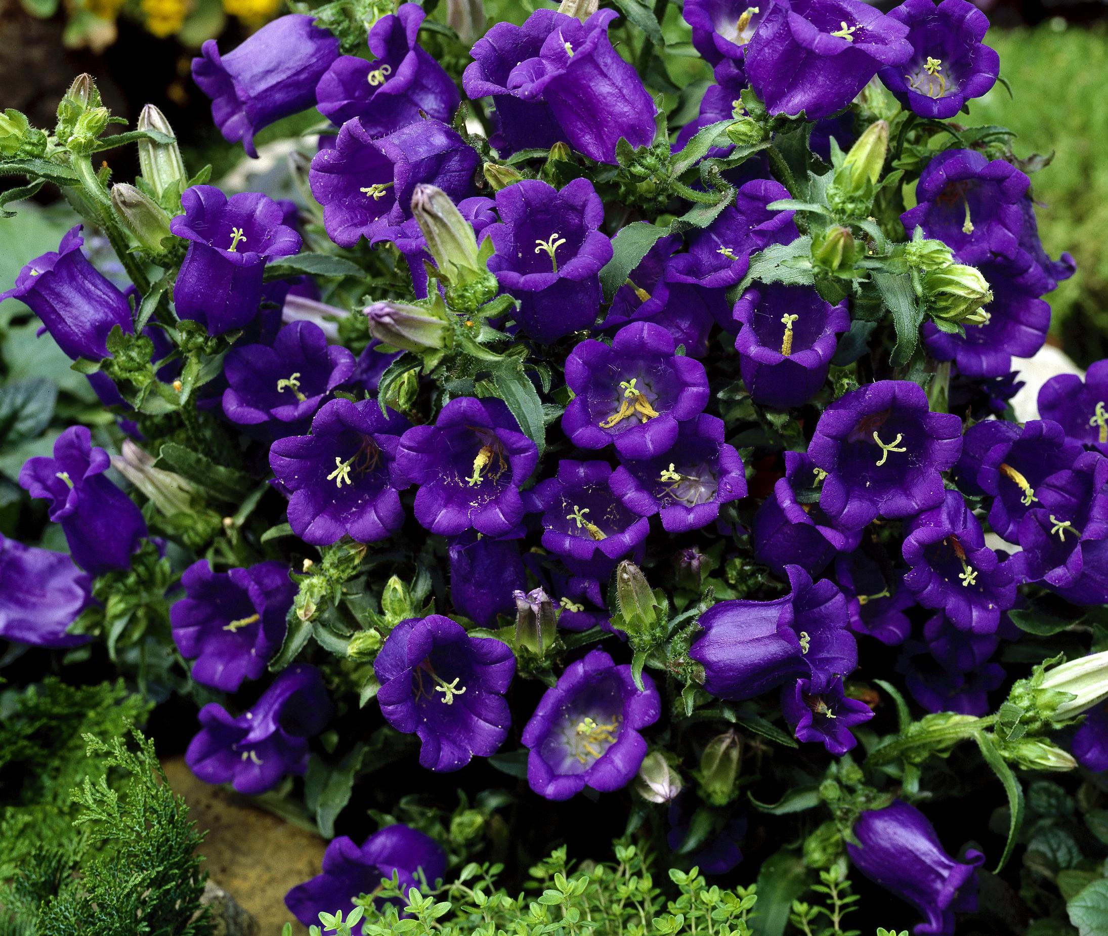 Все виды цветов фото которые цветут колокольчиками