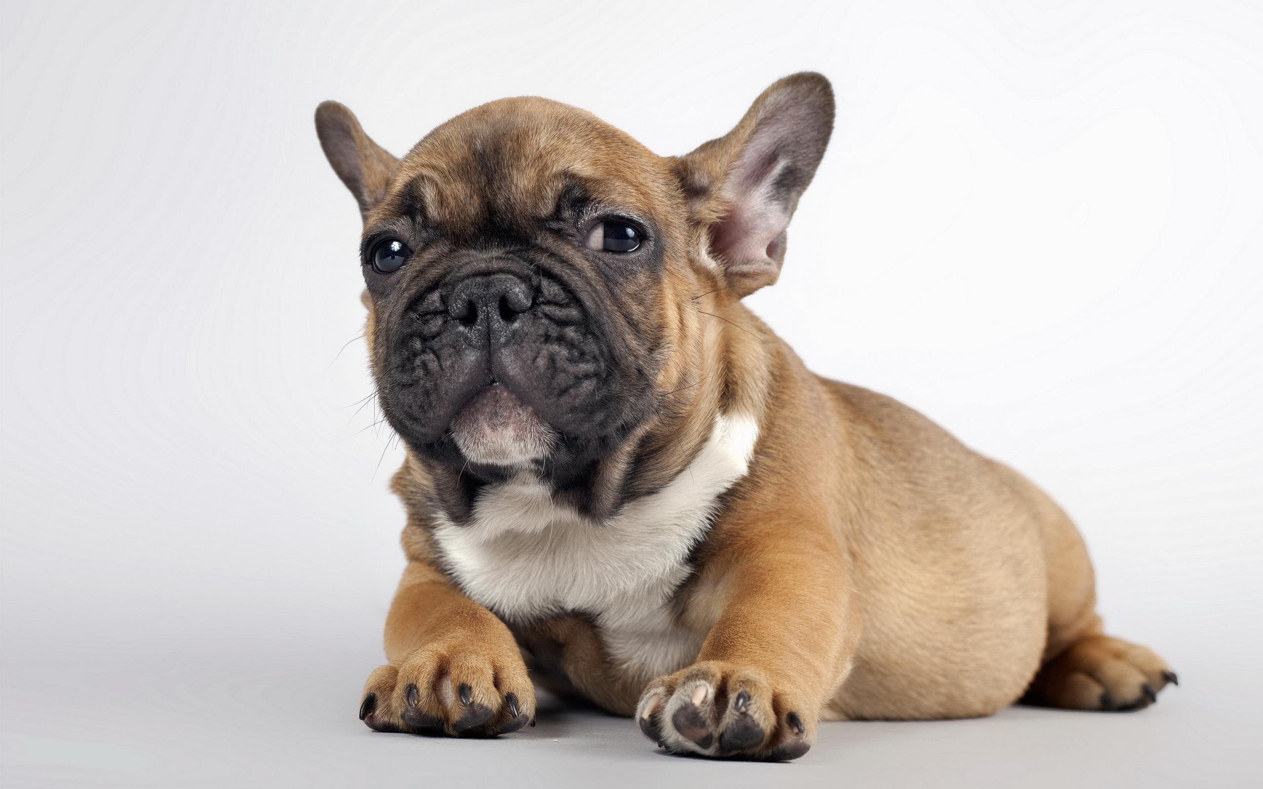 Собака животное французский бульдог  № 2228239 загрузить