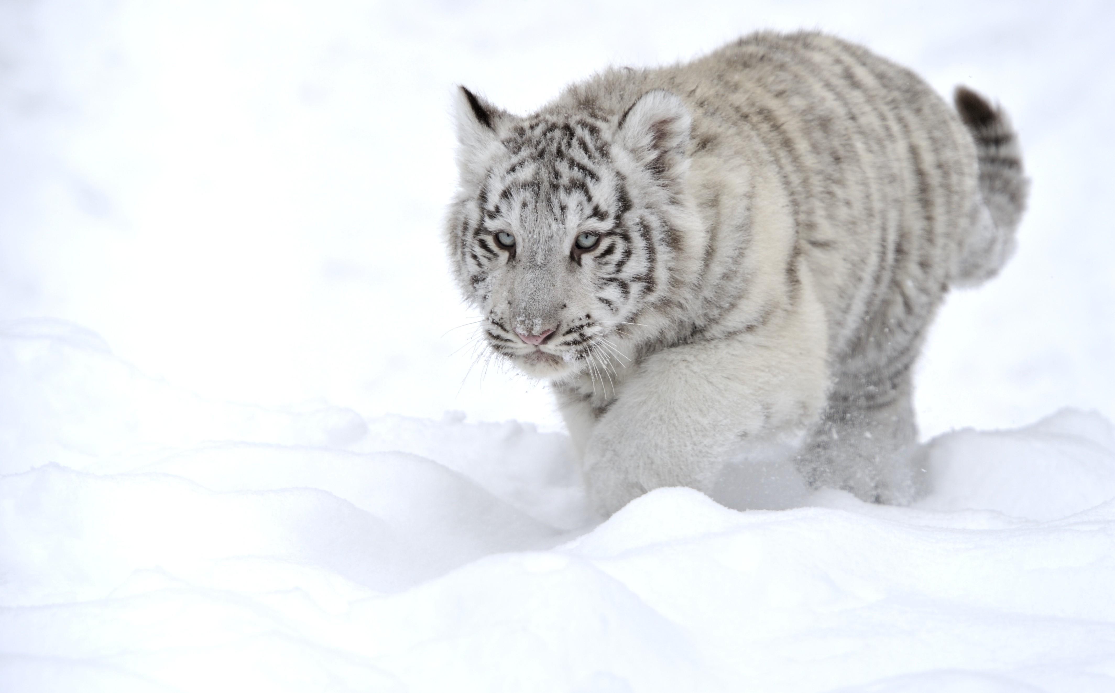 белый тигр на снегу  № 988807 бесплатно
