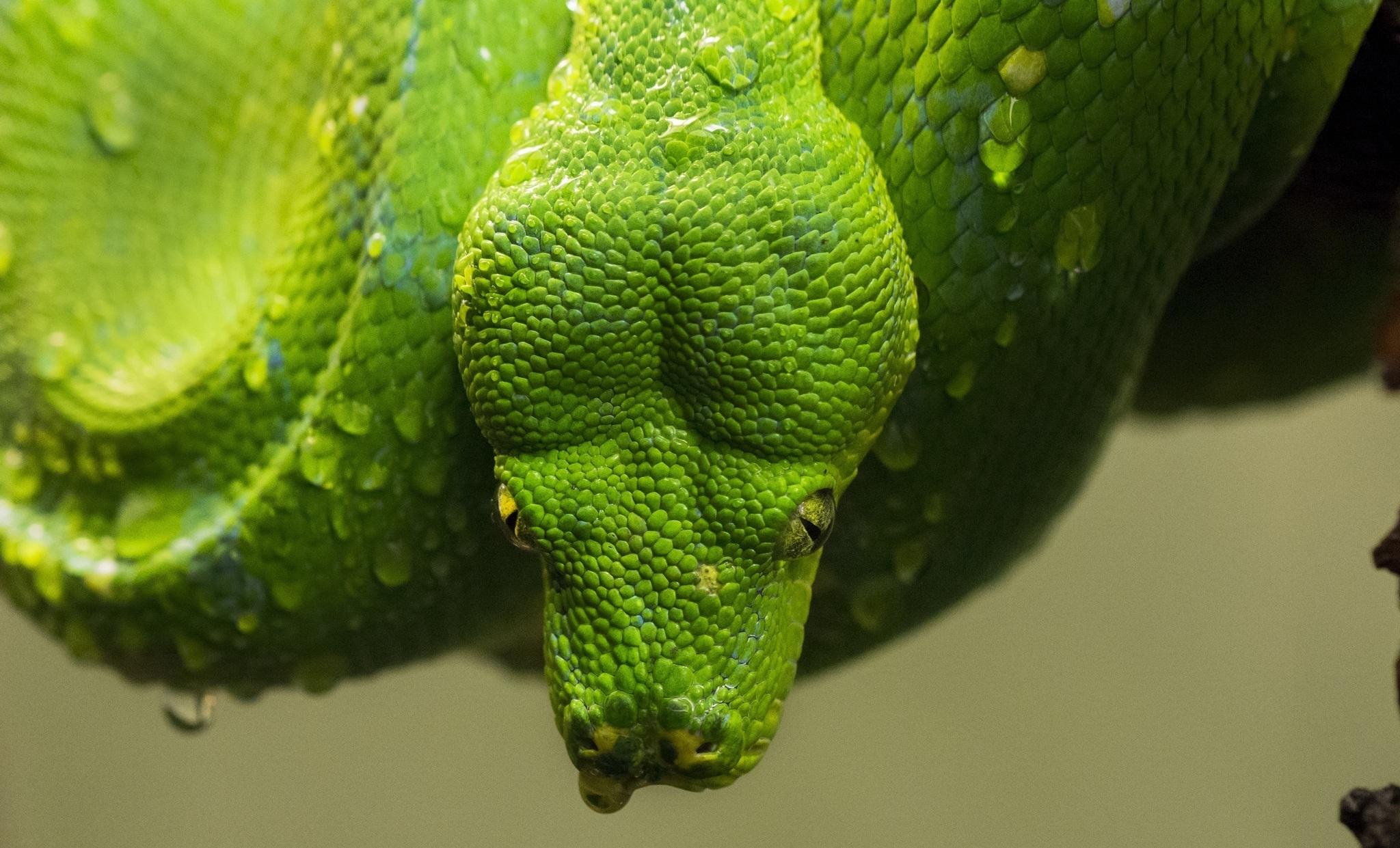 Зеленая змея макро съемка  № 3233914 без смс