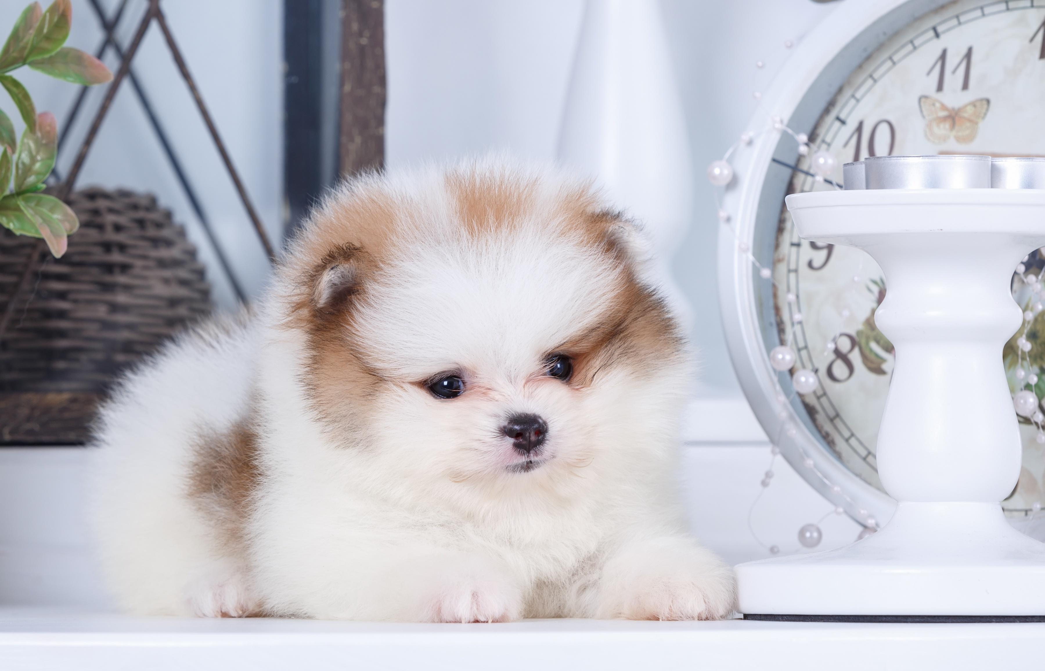 белые собаки щенки животные розовый фон  № 2918065 бесплатно