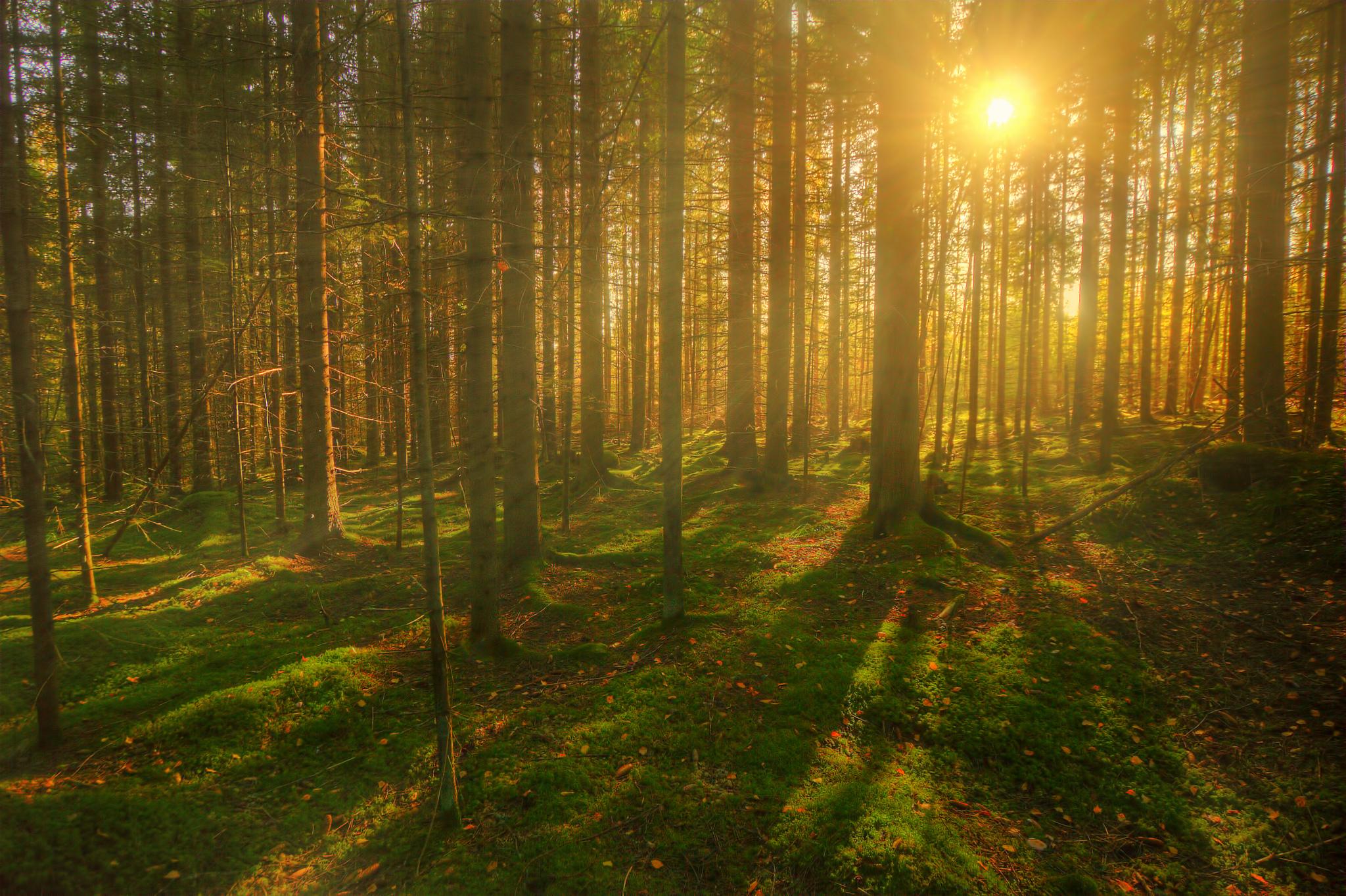 лес деревья солнечные лучи  № 917543  скачать