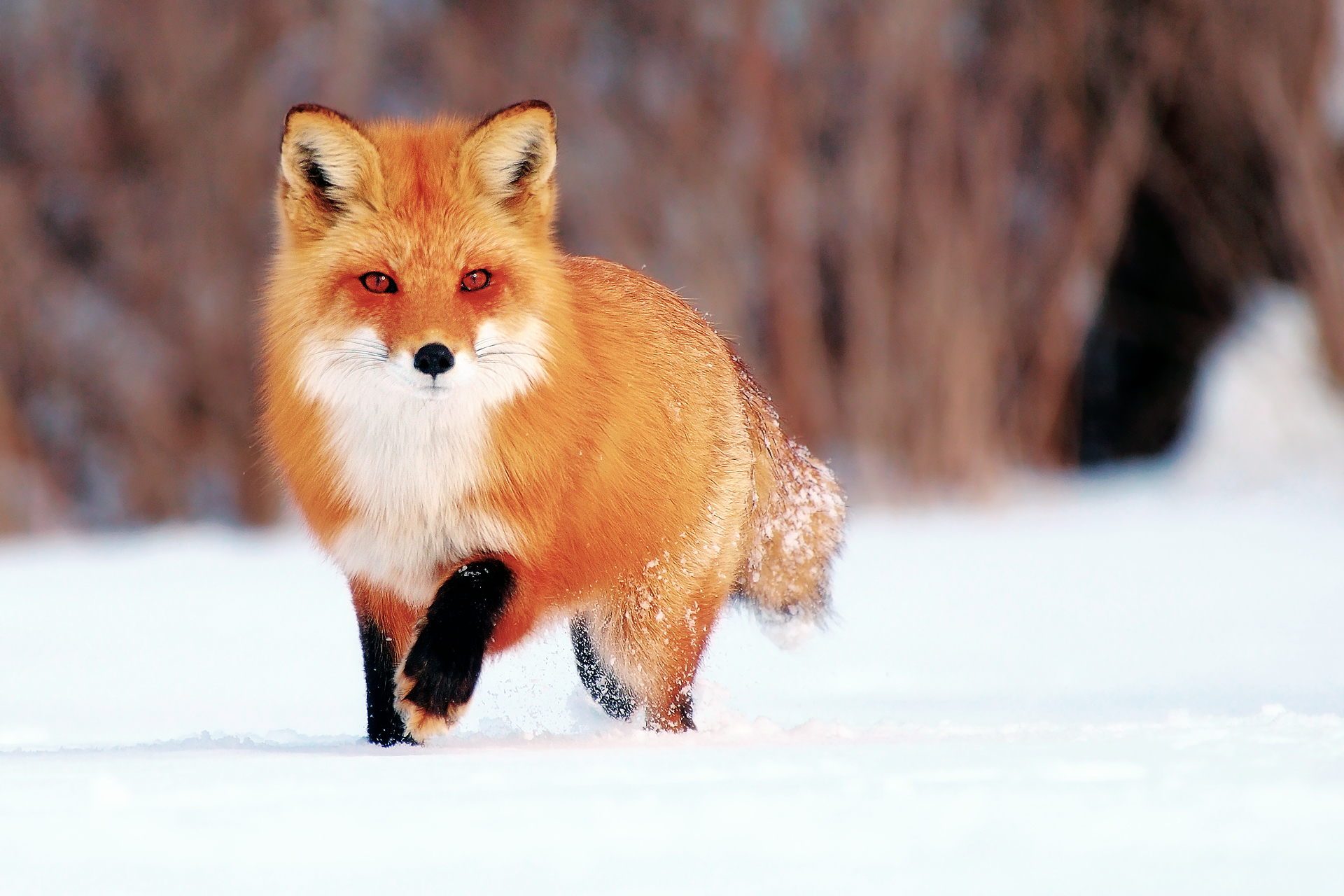 картинки лиса с лисятами для детей