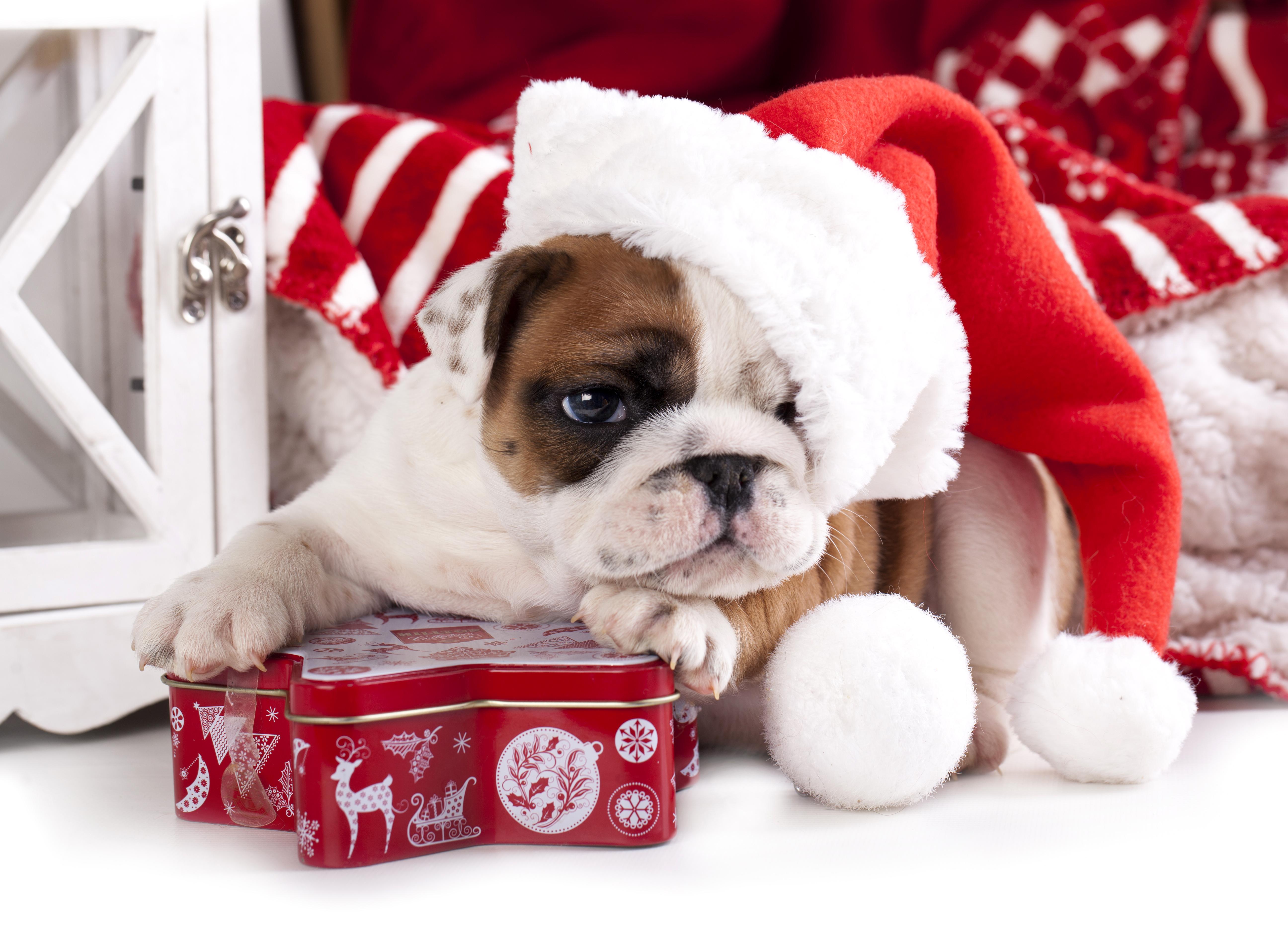 собачка в новогодней шапочке  № 1301922 бесплатно