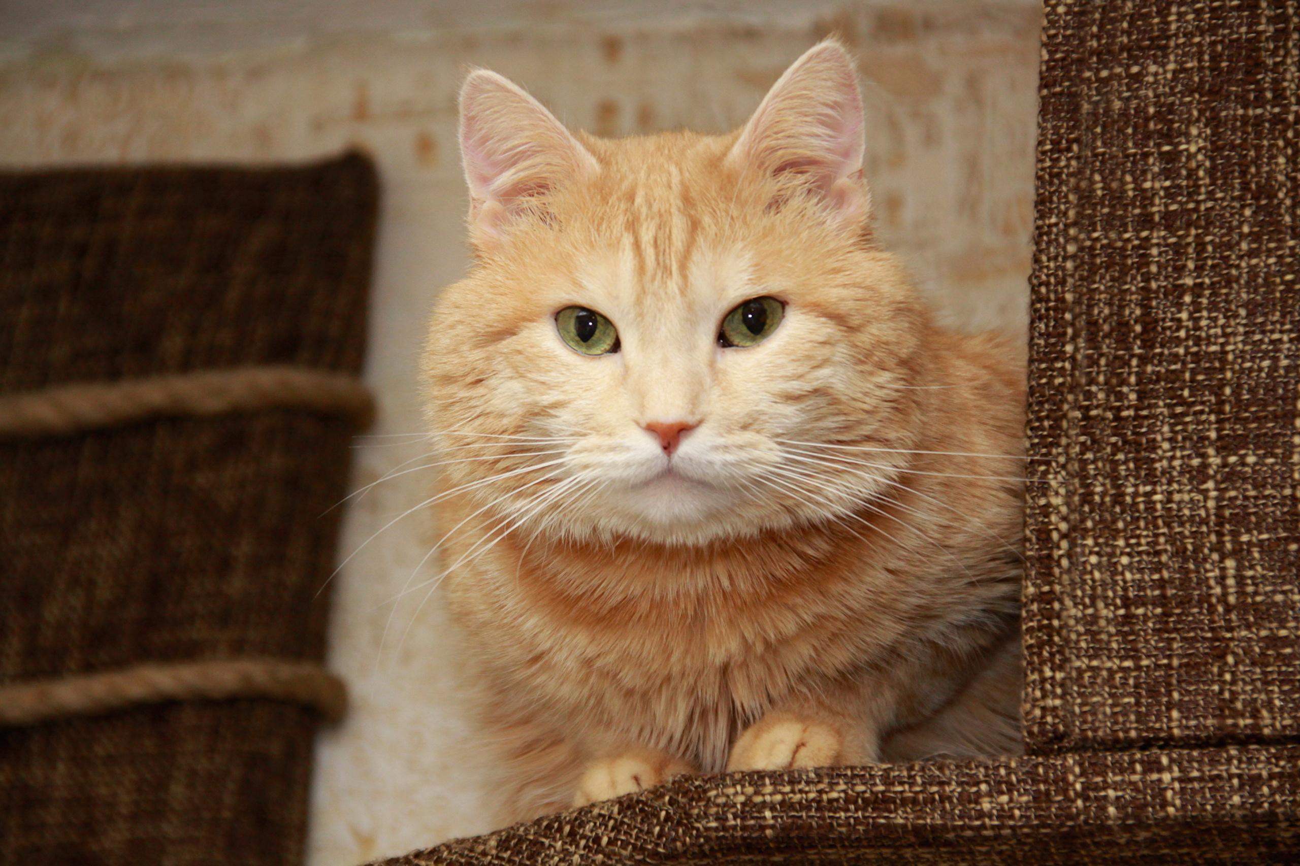 кот животное кресло морда  № 1943859  скачать