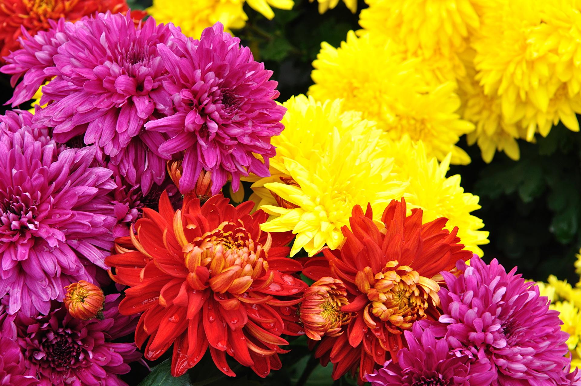 хризантема цветы  № 1353201 загрузить